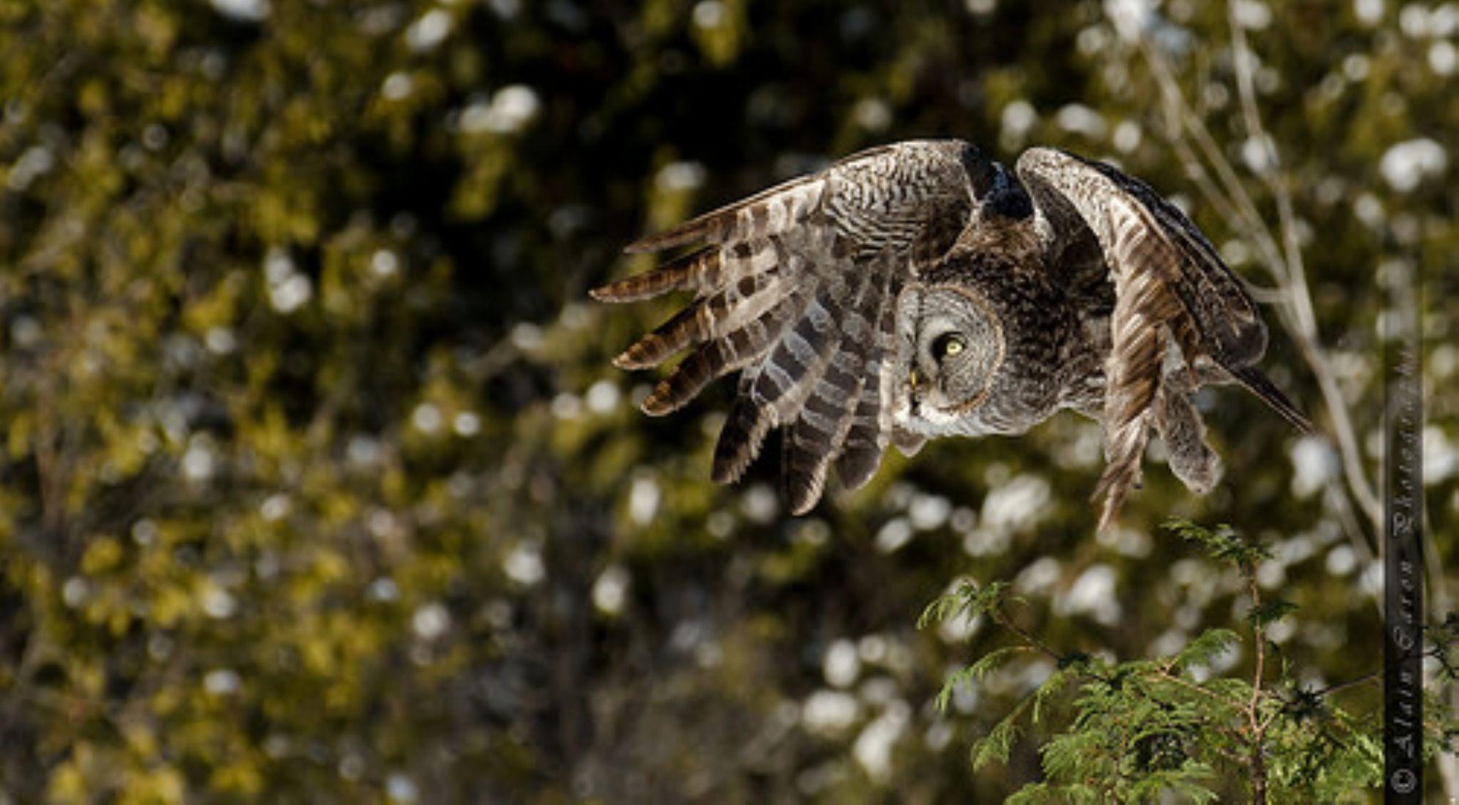 Great grey owl by Allan Caron