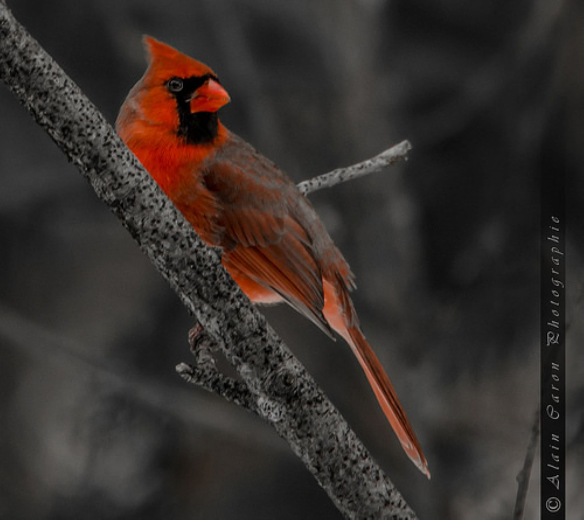 Cardinal by Allan Caron