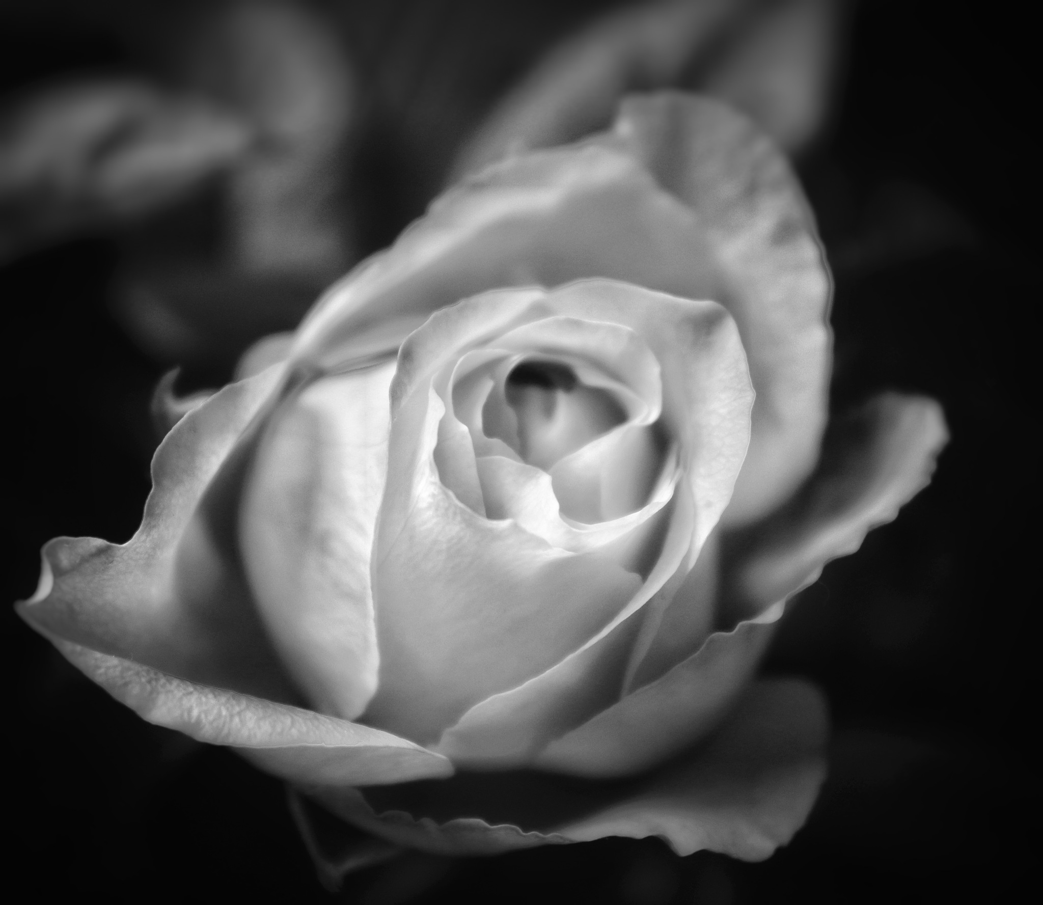 Rose by Annica Josefsson