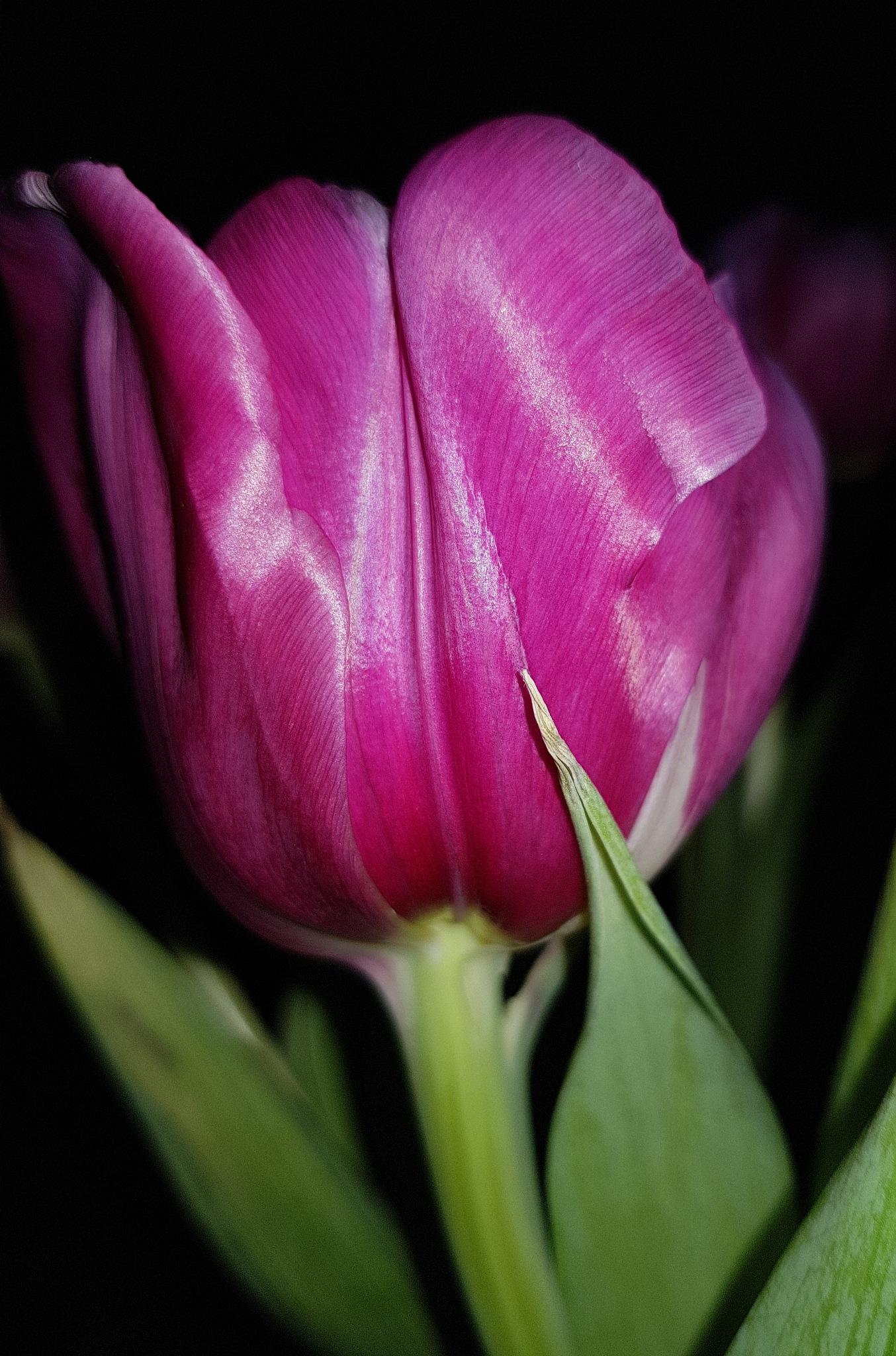Tulip  by Annica Josefsson