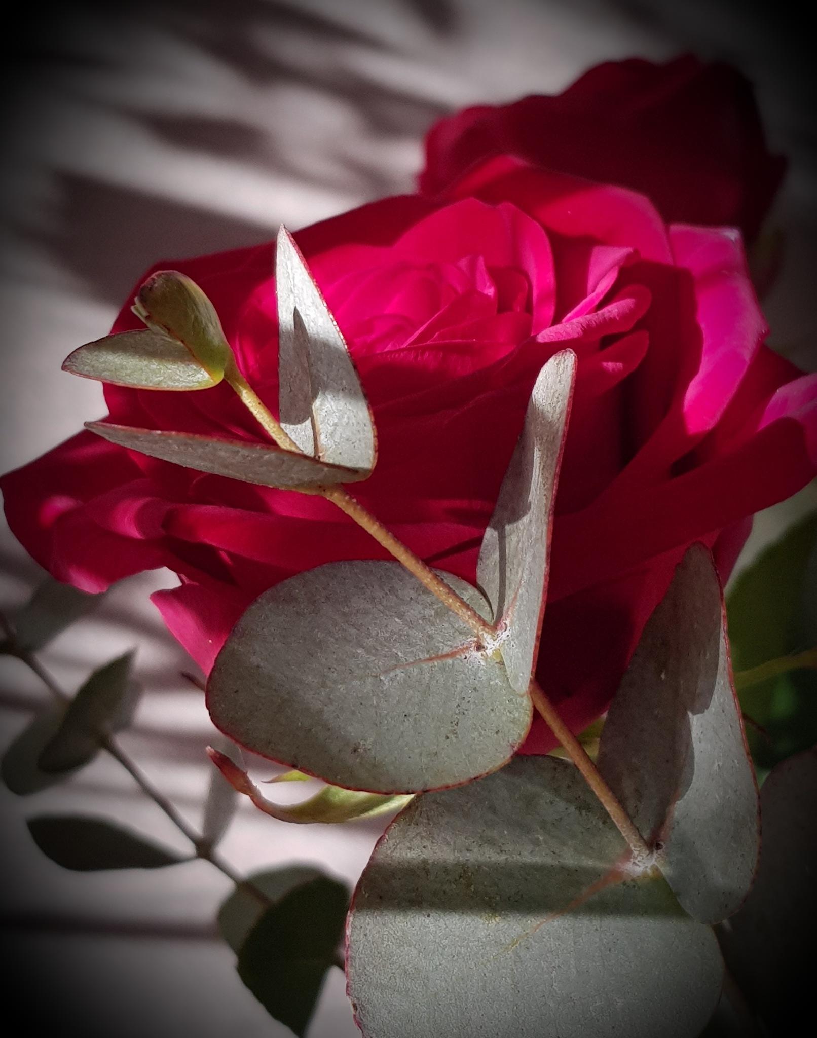 Rose  by Annica Josefsson