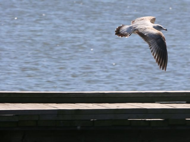 Flying Low At White Rock Lake by Gregory Photography