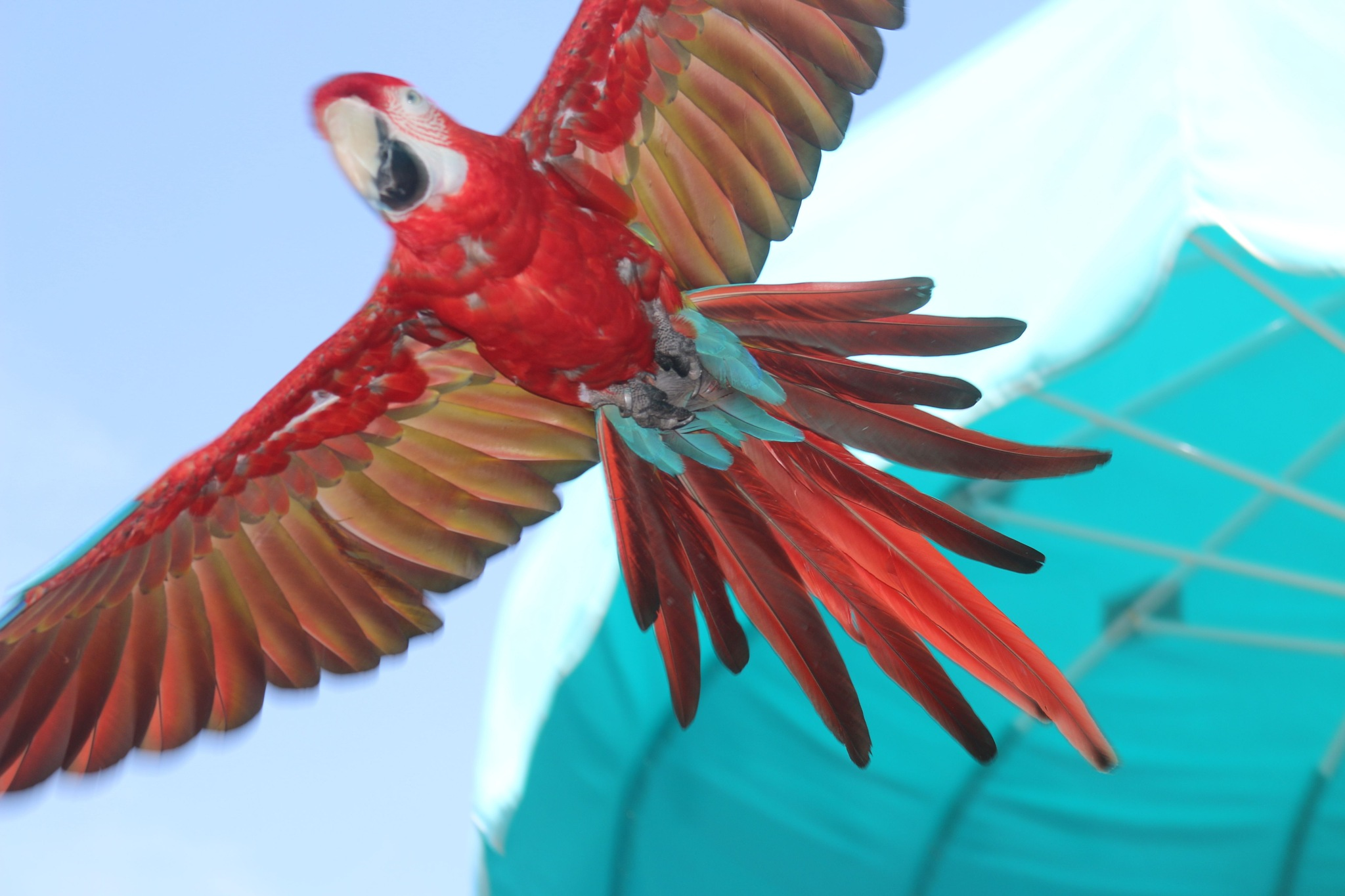 Flying Parrot Over My Head by Gregory Photography