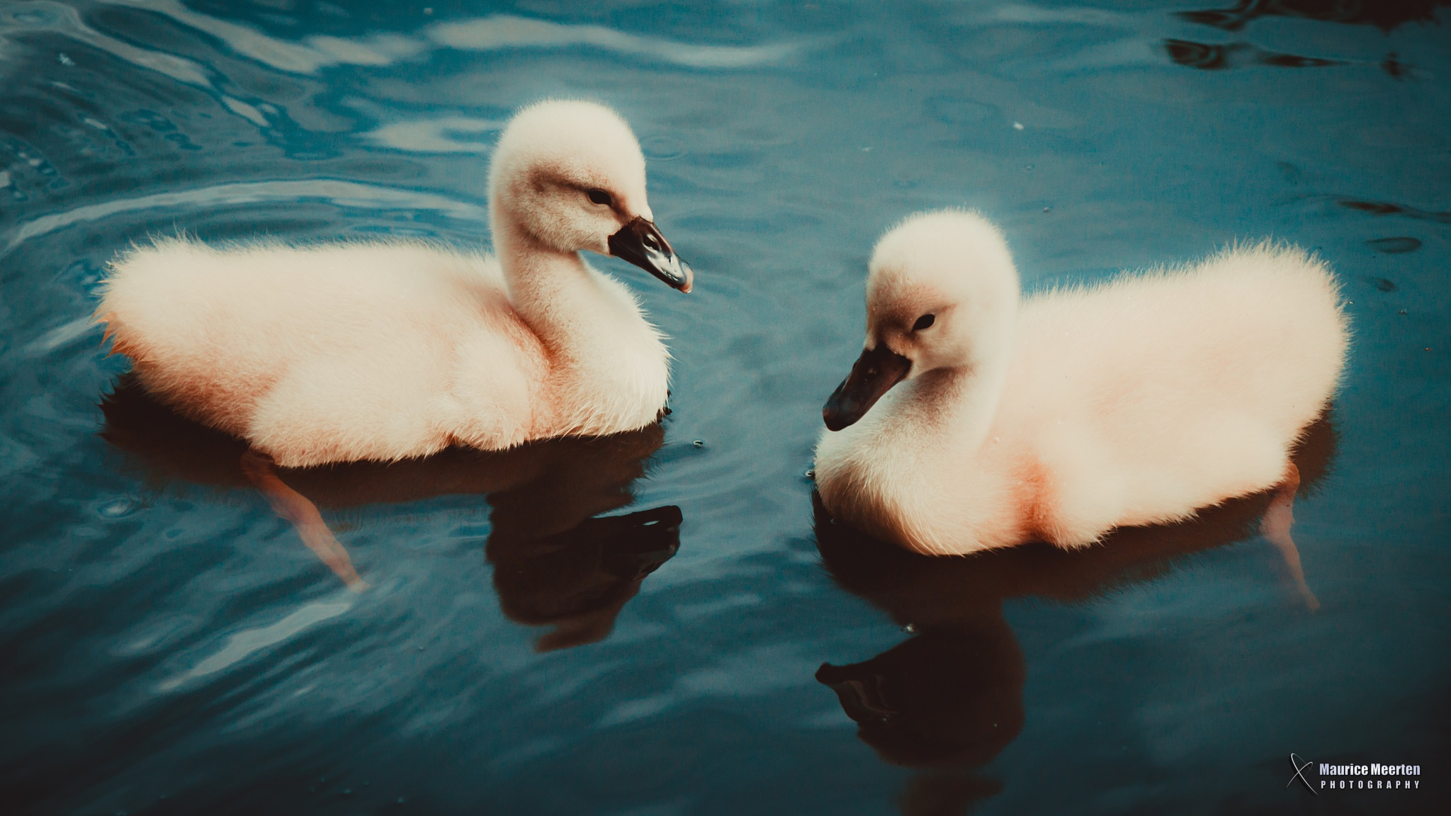 Young swans by Maurice Meerten