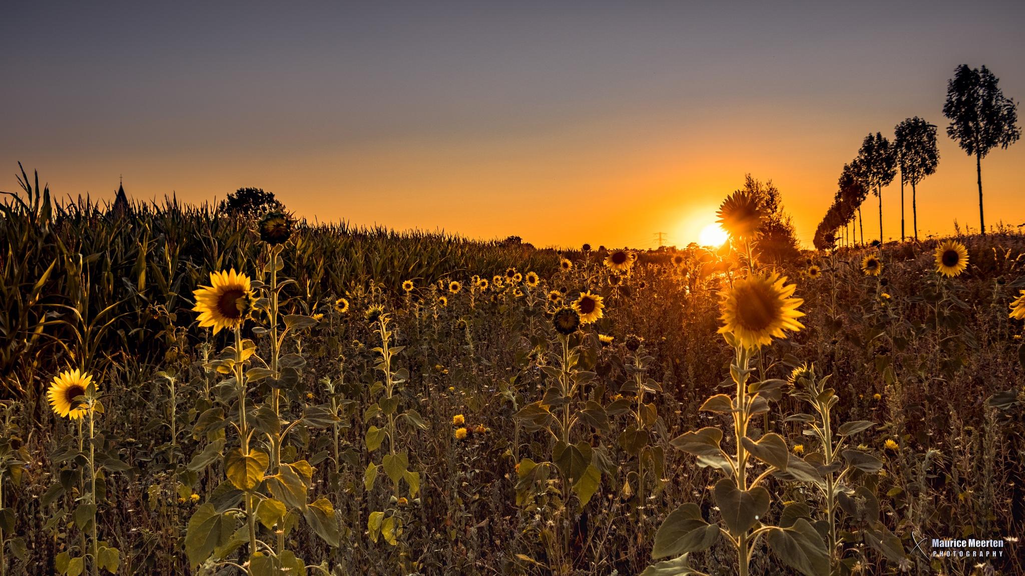 Sunflowers by Maurice Meerten
