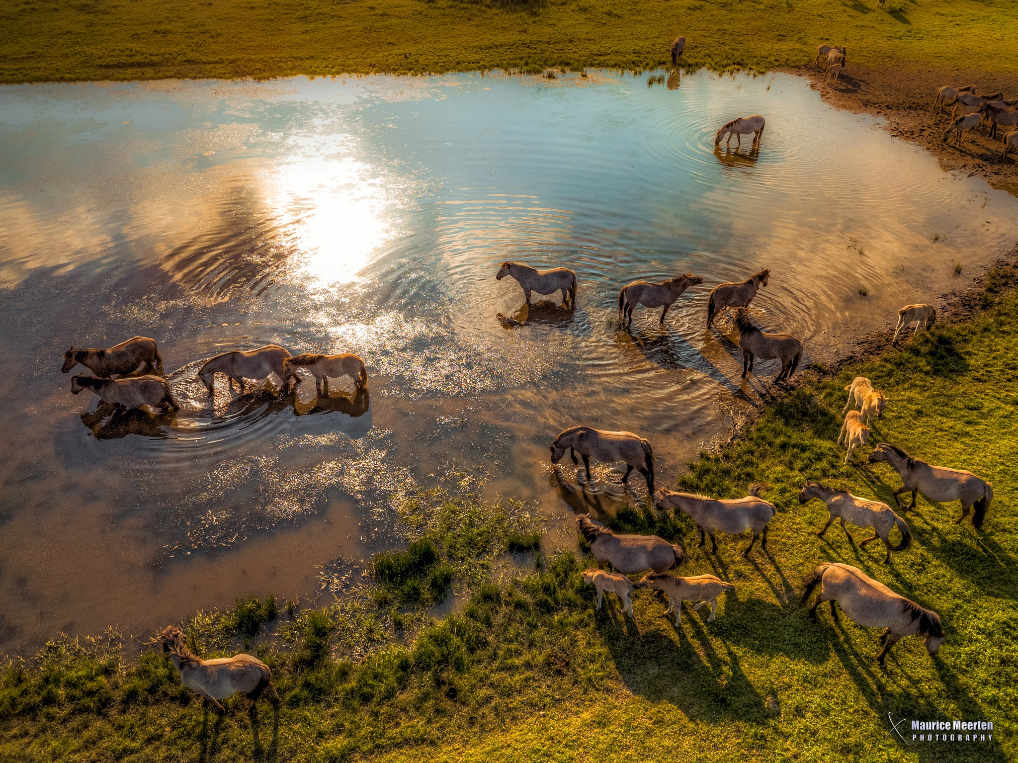 Horses by the pool by Maurice Meerten