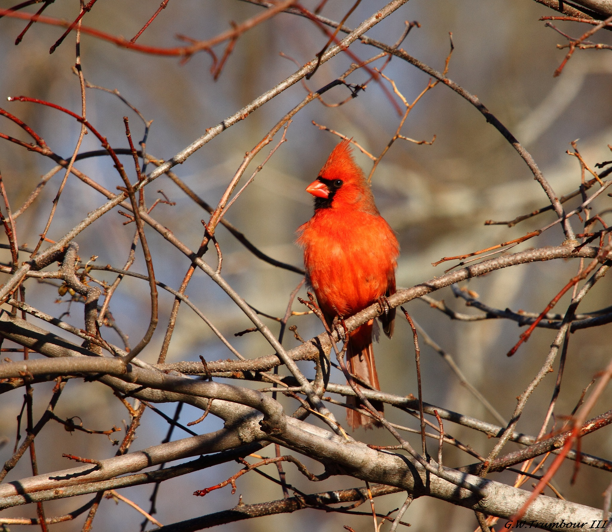 Sunny spot Cardinal by George W. Trumbour iii
