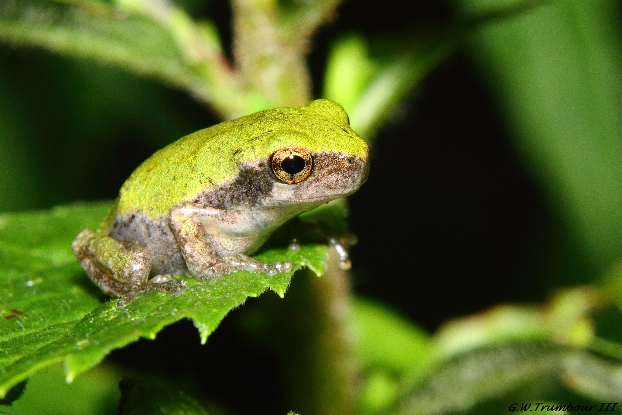 One tiny Frog by George W. Trumbour iii