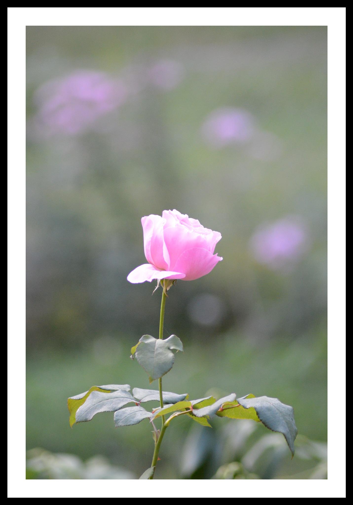 Spring Rose by Mandy Daniels