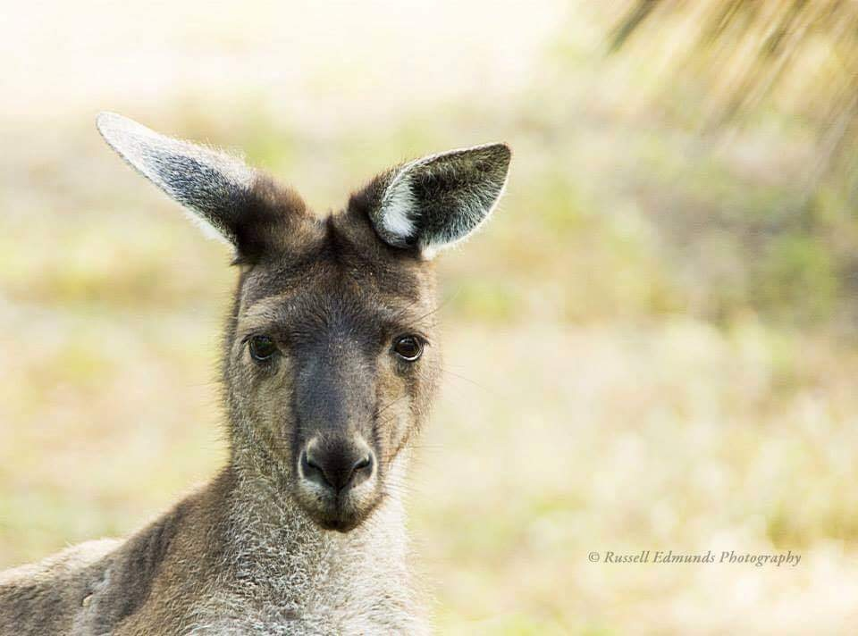 Kangaroo  by Russell Edmunds