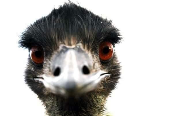 Emu Eyeball by Russell Edmunds