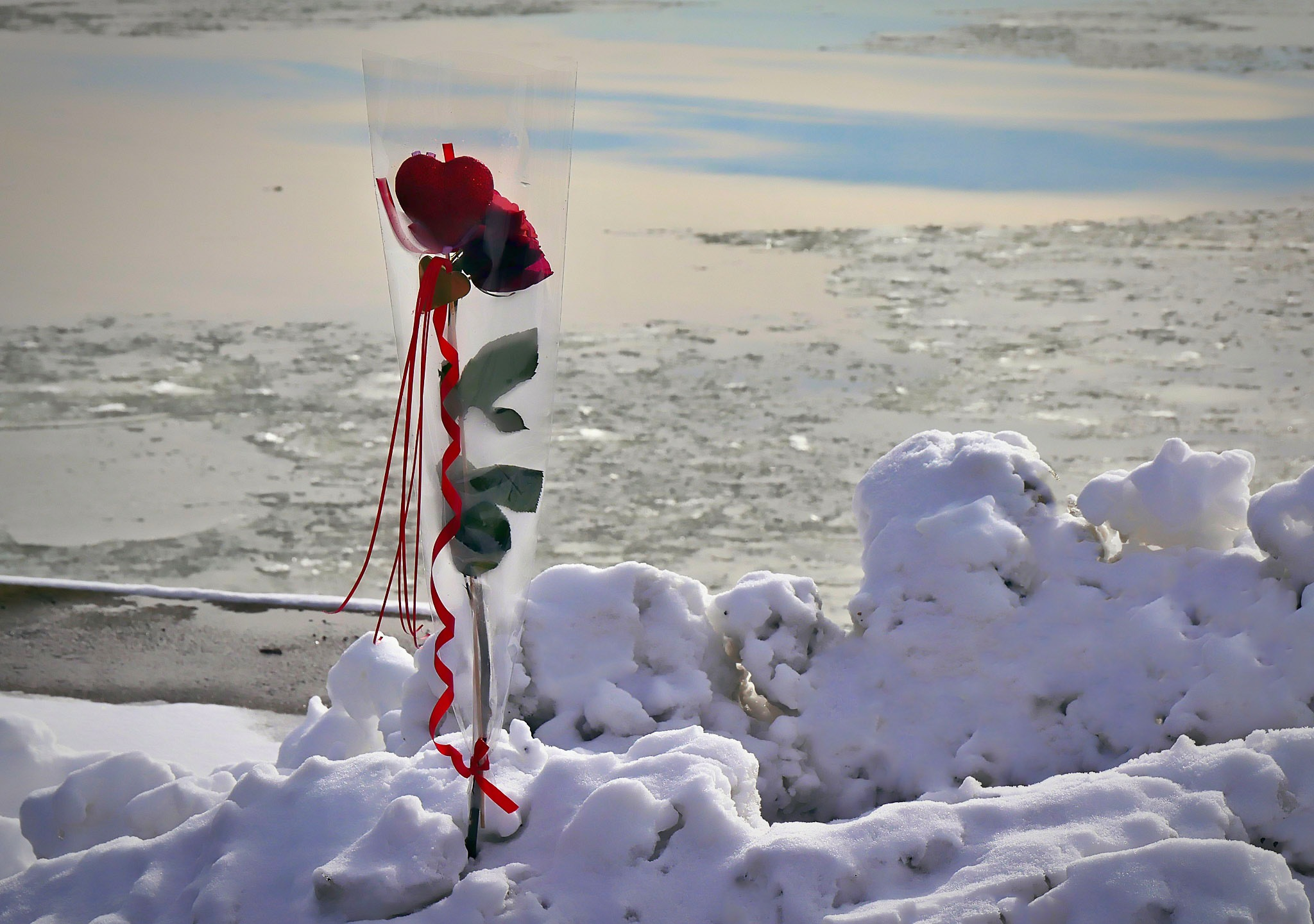 Rose in the snow by Peter F Hansen