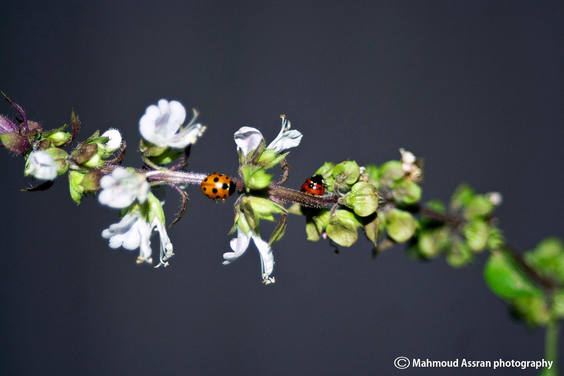 ladybug  by Mahmoud Assran