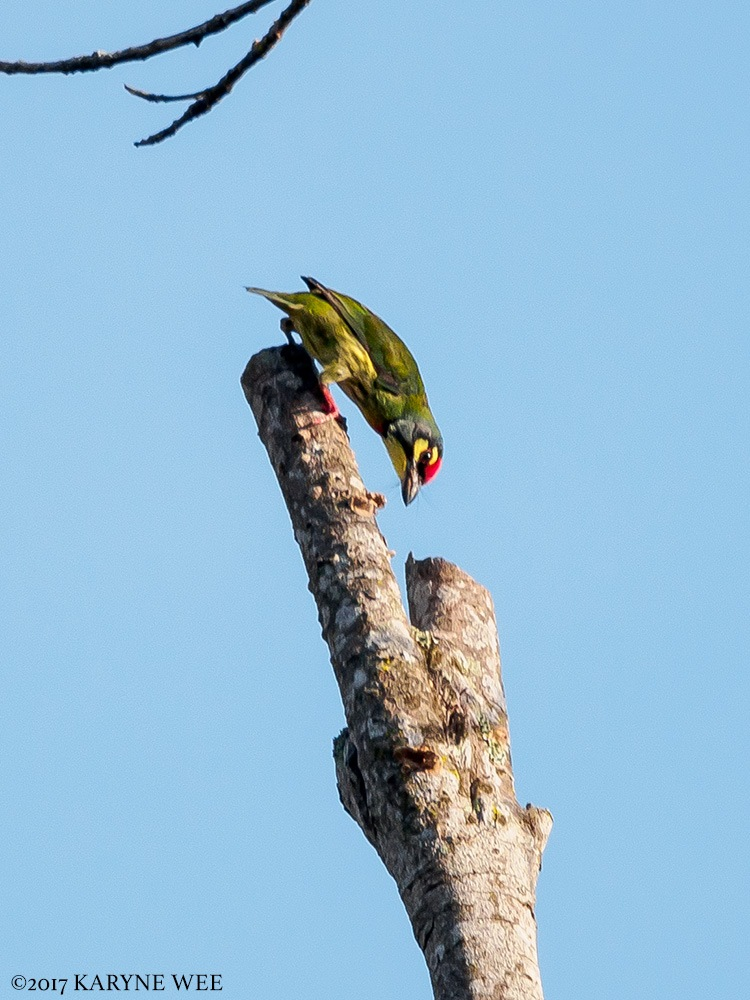 Coppersmith Barbet by Karyne Wee
