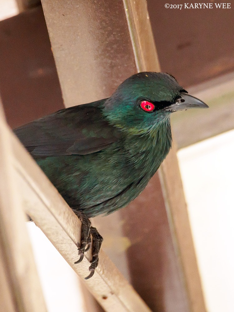 Asian Glossy Starling by Karyne Wee