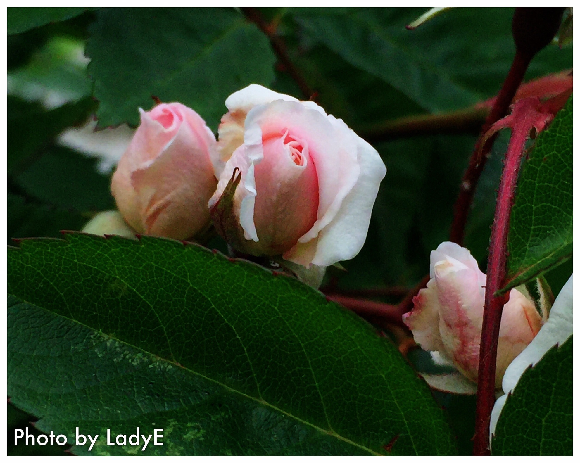 Beauties To Be Born ...  by LadyE