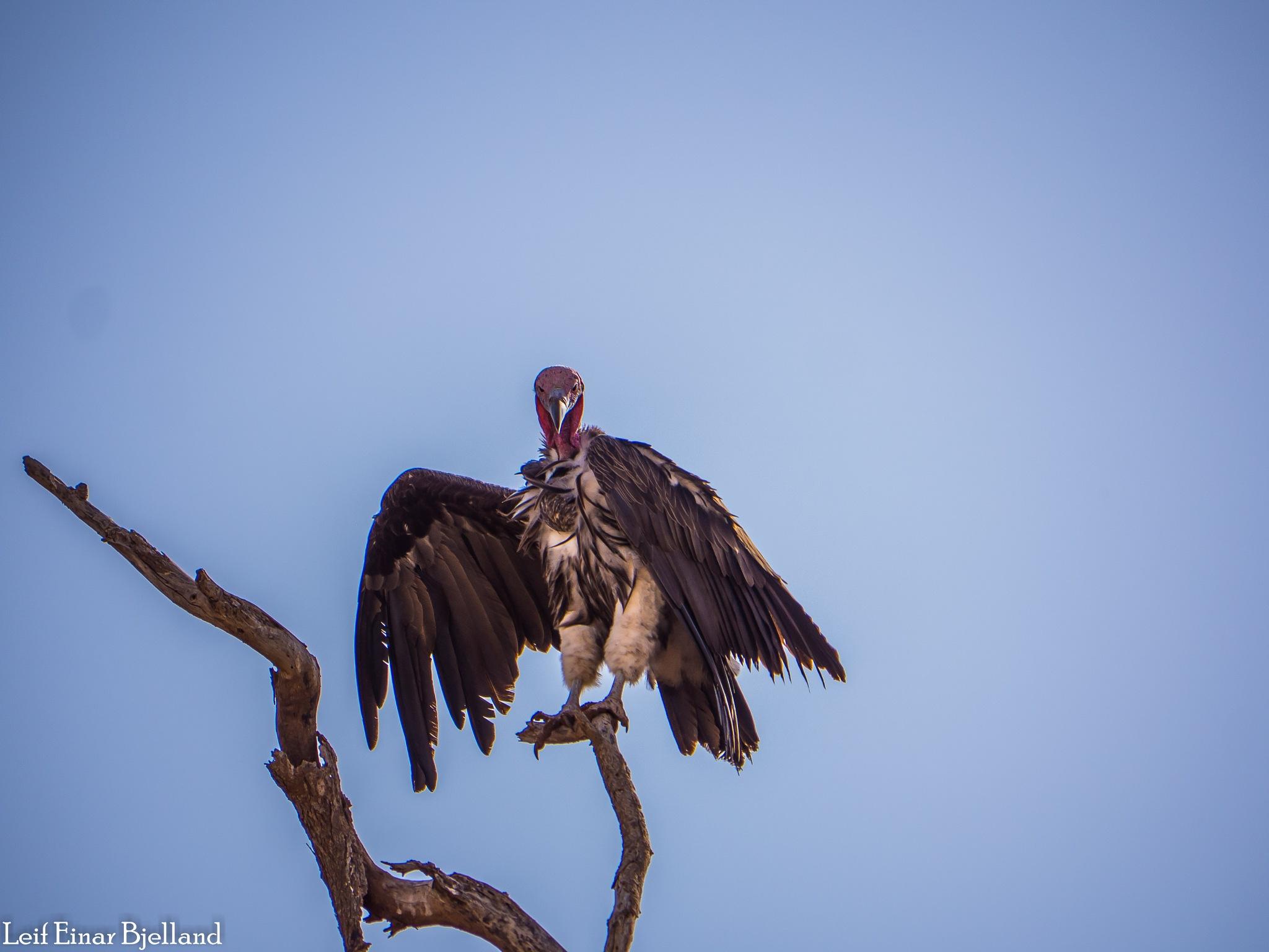Vulture by Leif Einar Bjelland