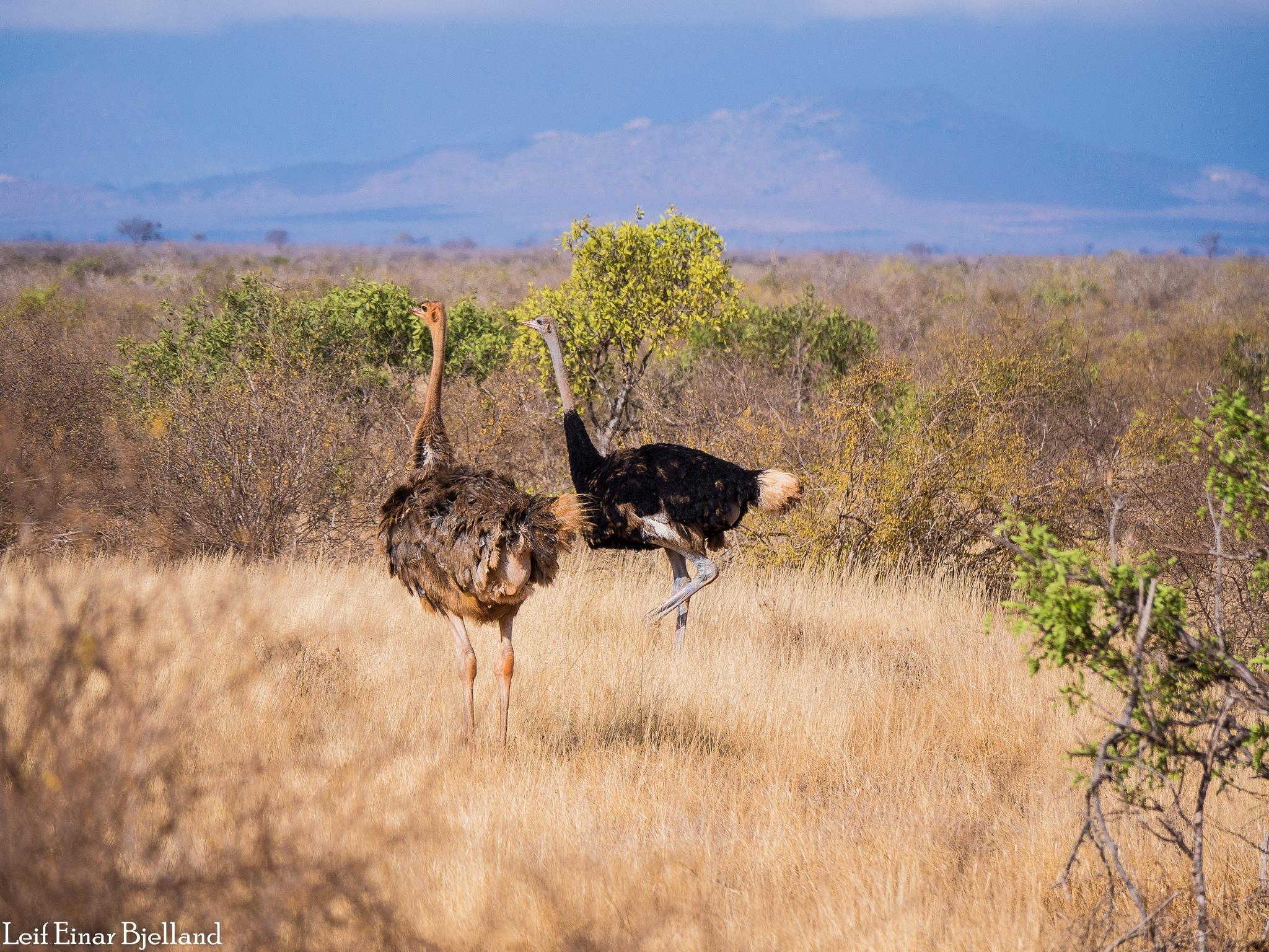 Ostriches by Leif Einar Bjelland