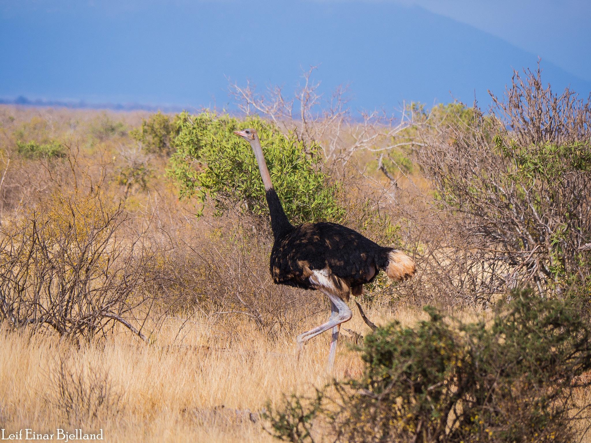 Ostrich by Leif Einar Bjelland