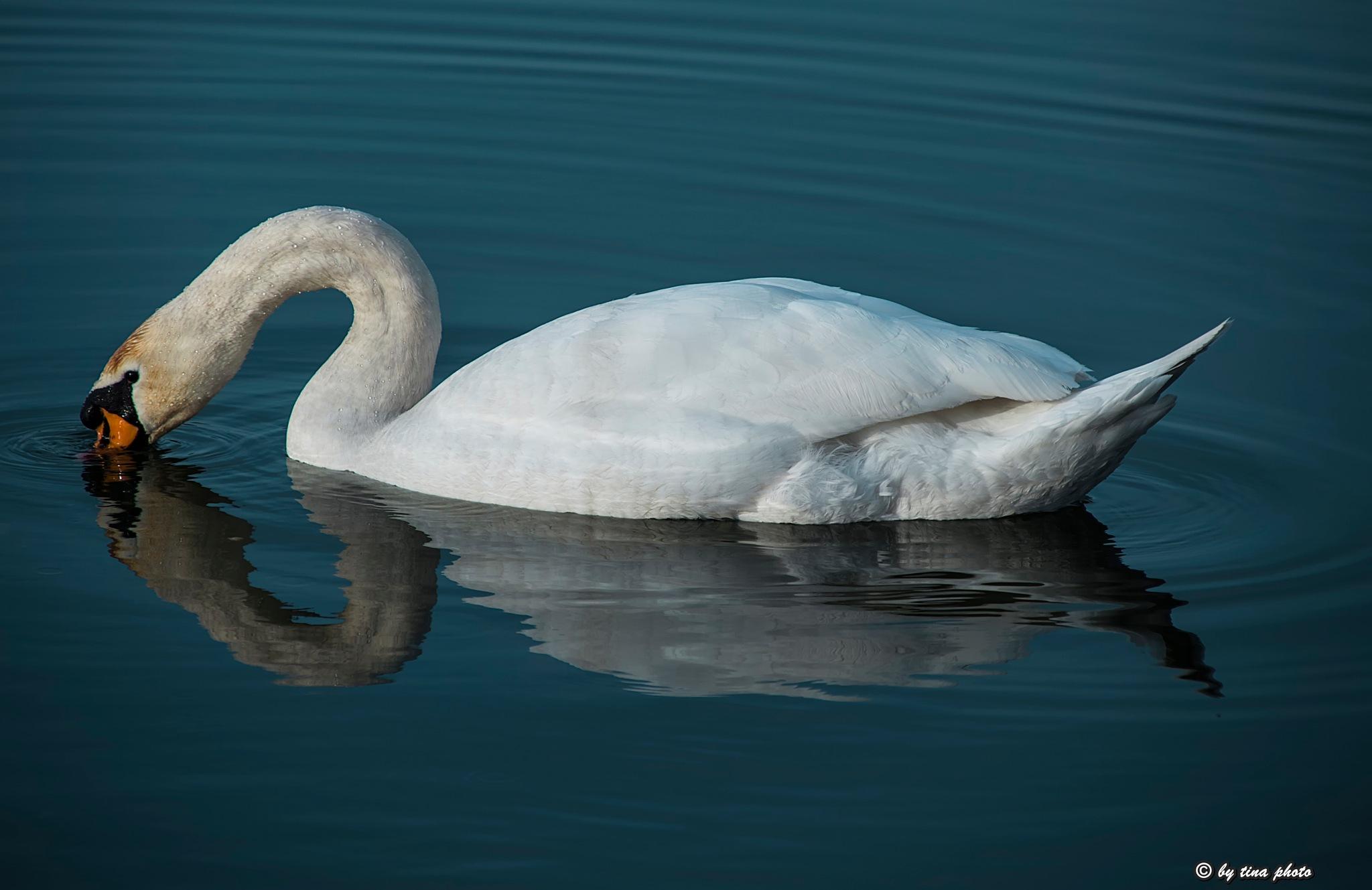 Swan  by Kristina Jelenčić