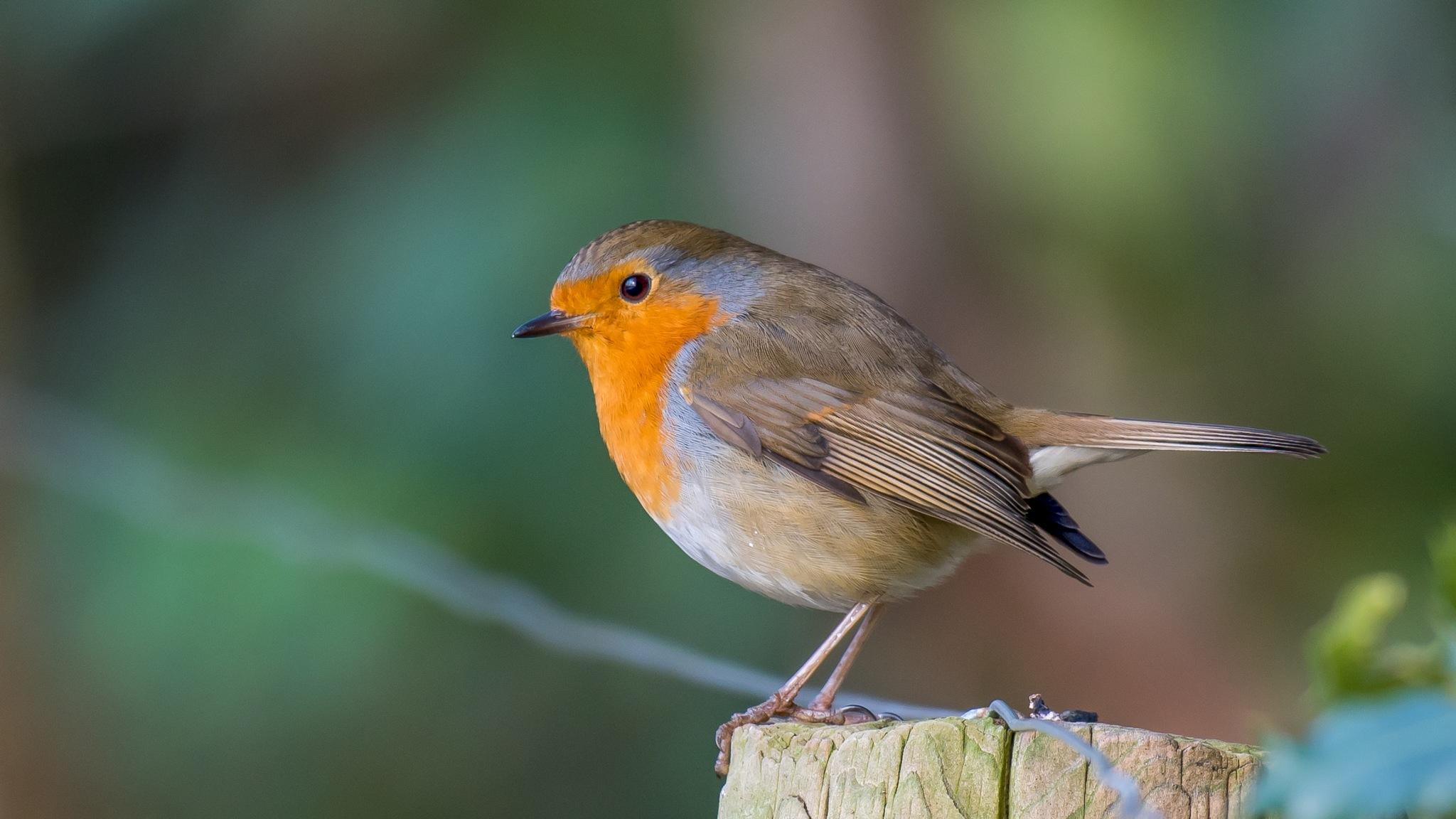 Robin 2 by Gerard Manders