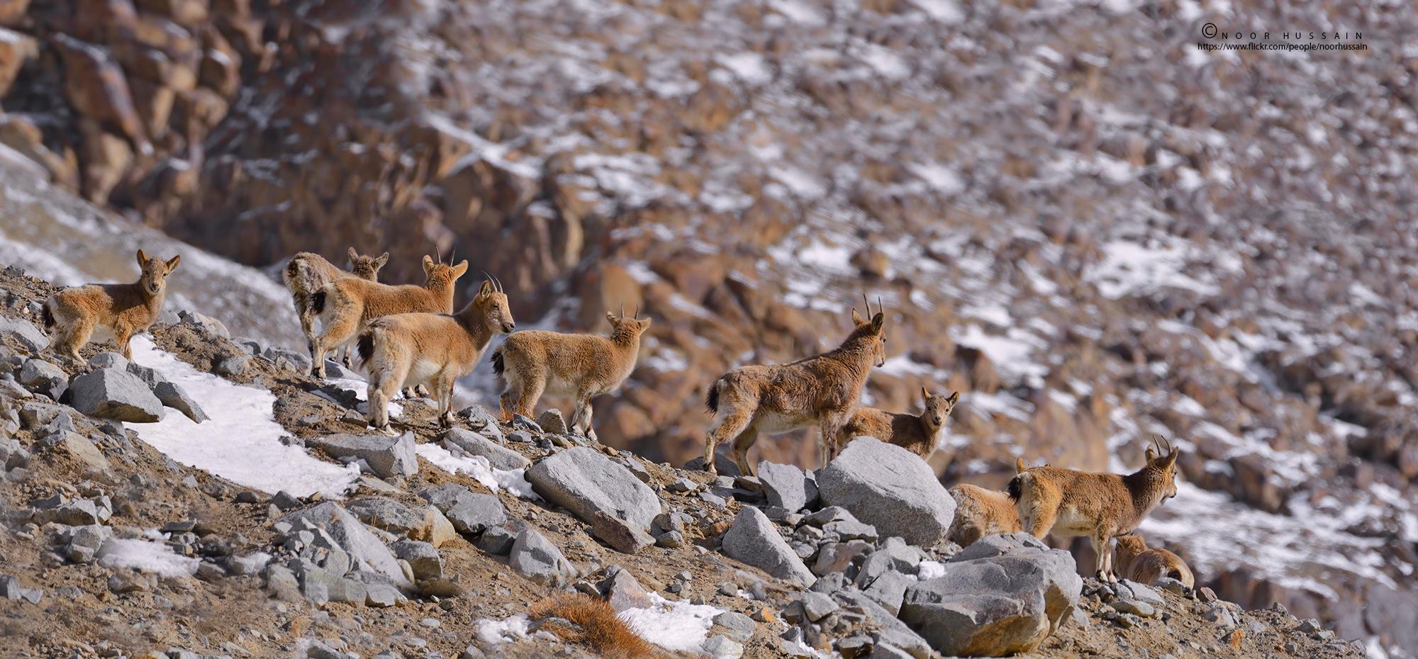 Himalayan ibex. by Noor Hussain