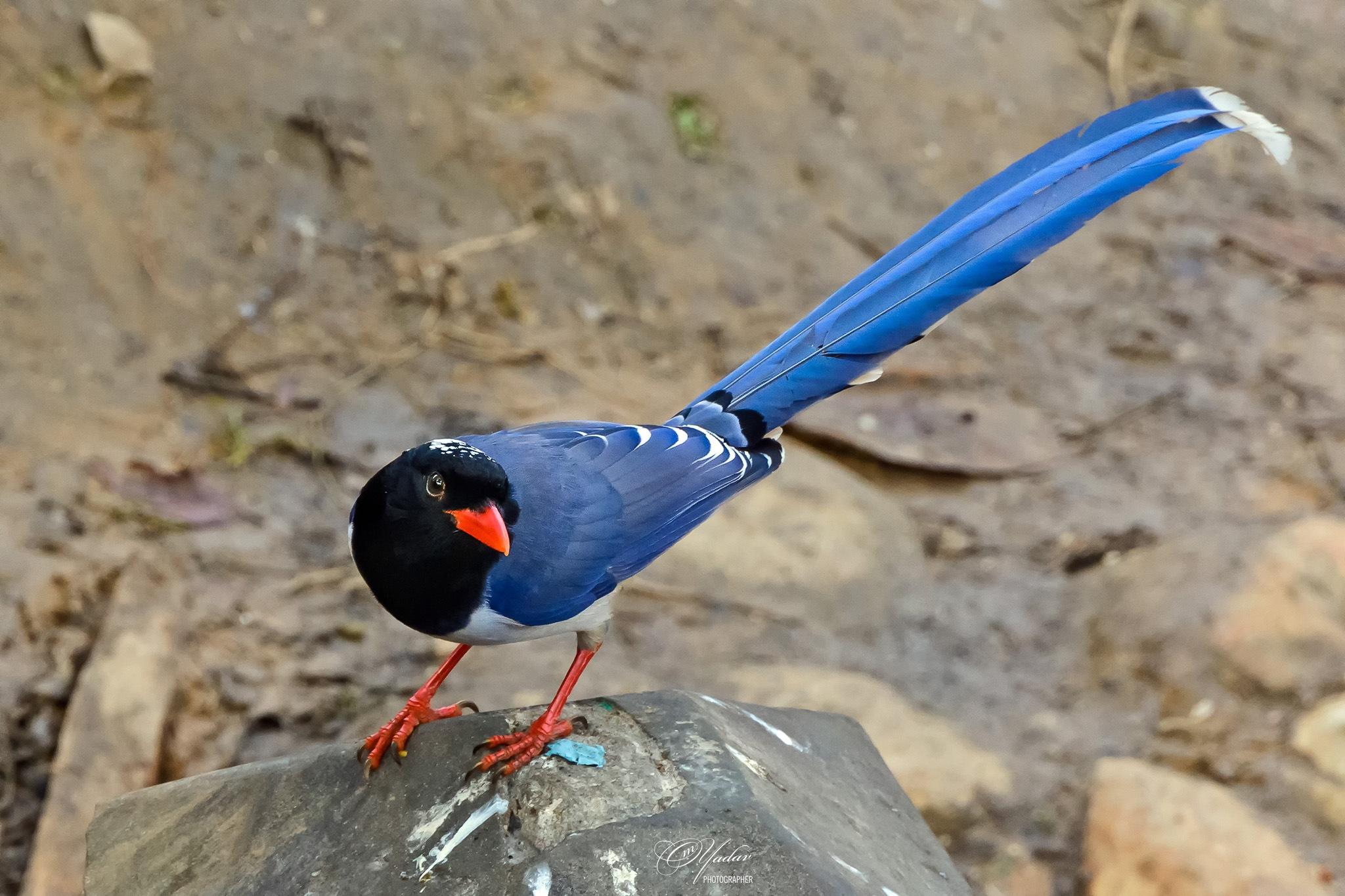 Red-billed Blue Magpie by Om Yadav