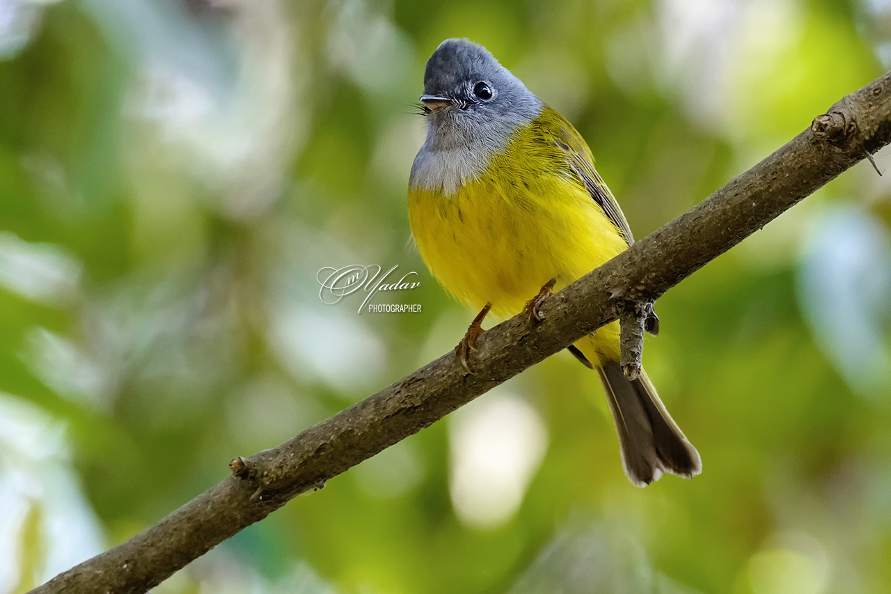 Grey-headed Canary Flycatcher by Om Yadav