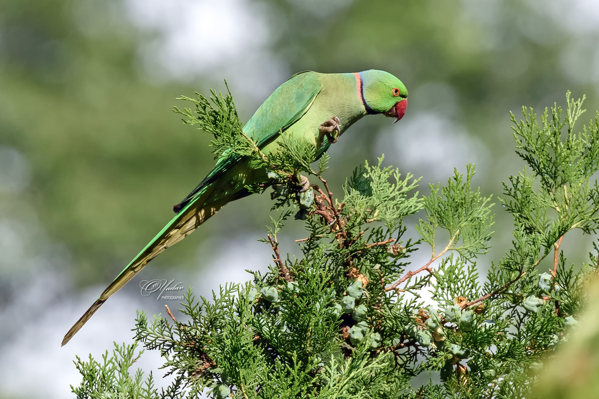 Rose-ringed Parakeet (male) by Om Yadav