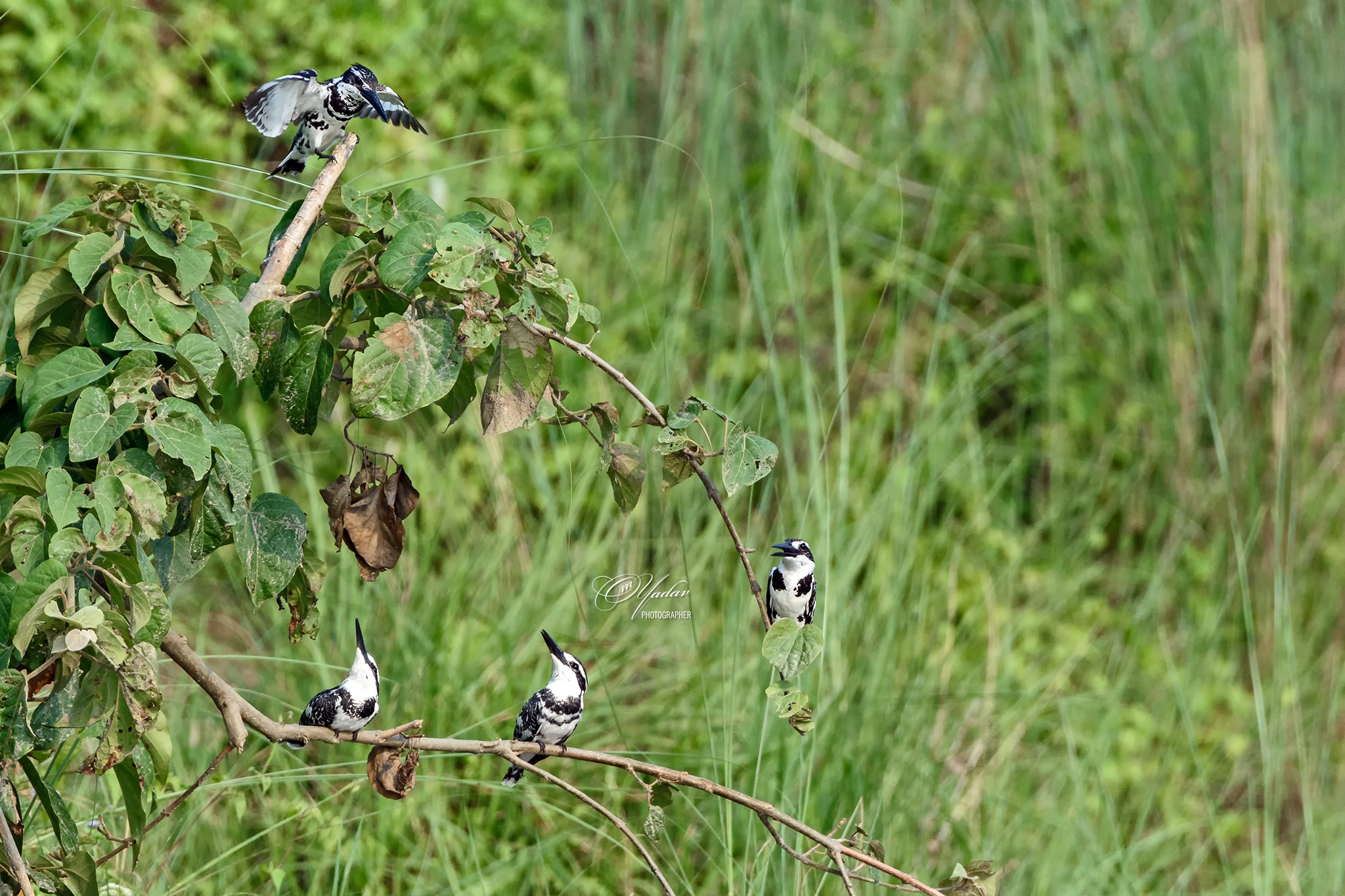 Pied Kingfisher Family by Om Yadav