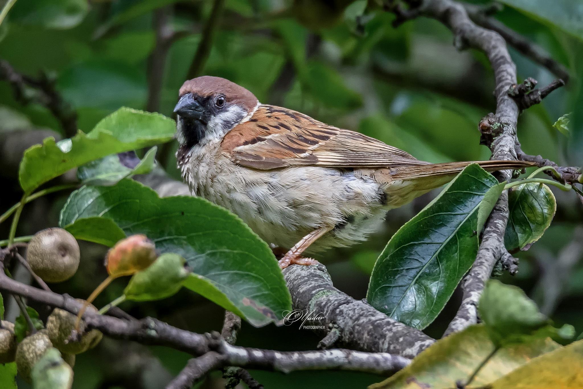 Eurasian Tree Sparrow by Om Yadav