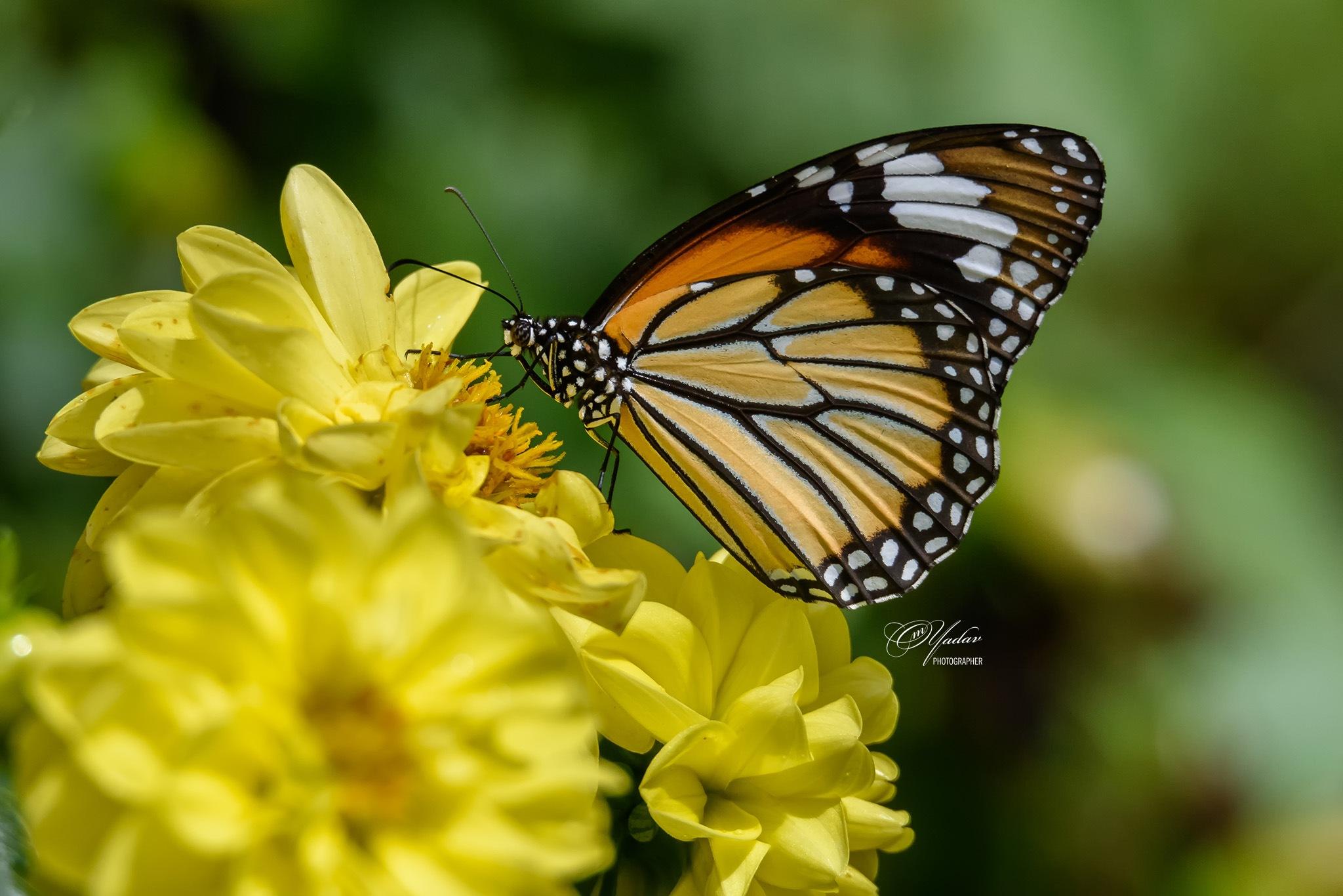 Common Tiger Butterfly by Om Yadav