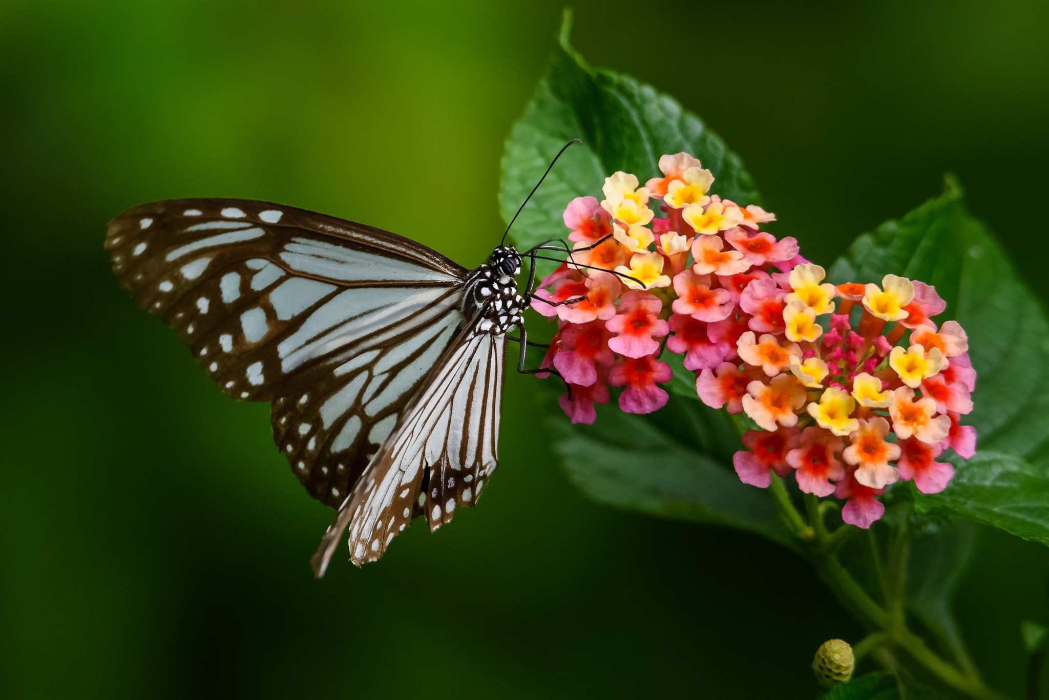 Blue Glassy Tiger Butterfly by Om Yadav