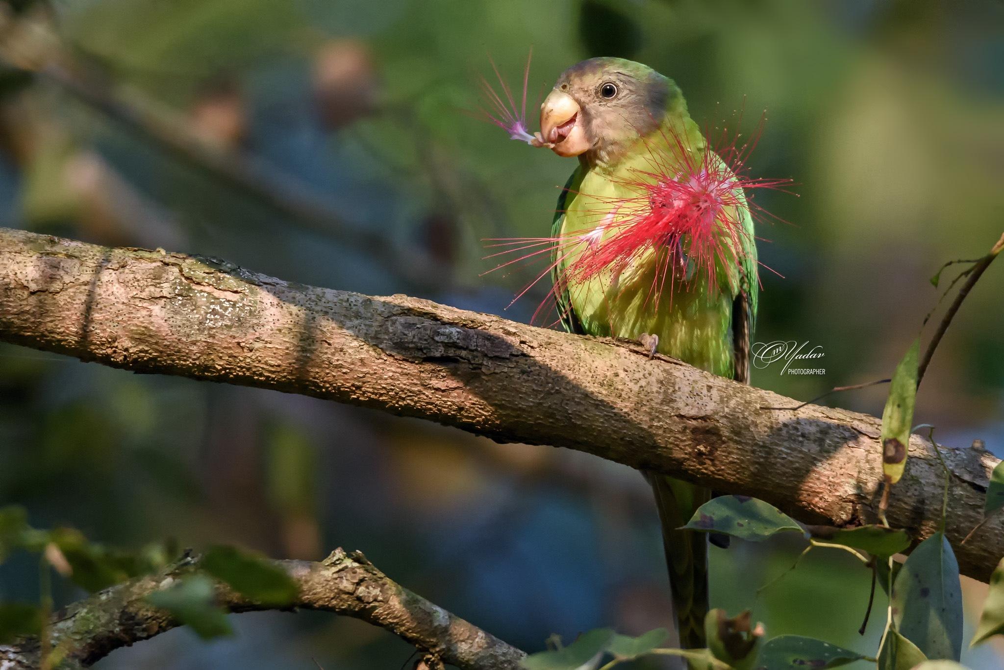 Plum-headed Parakeet (juvenile) by Om Yadav