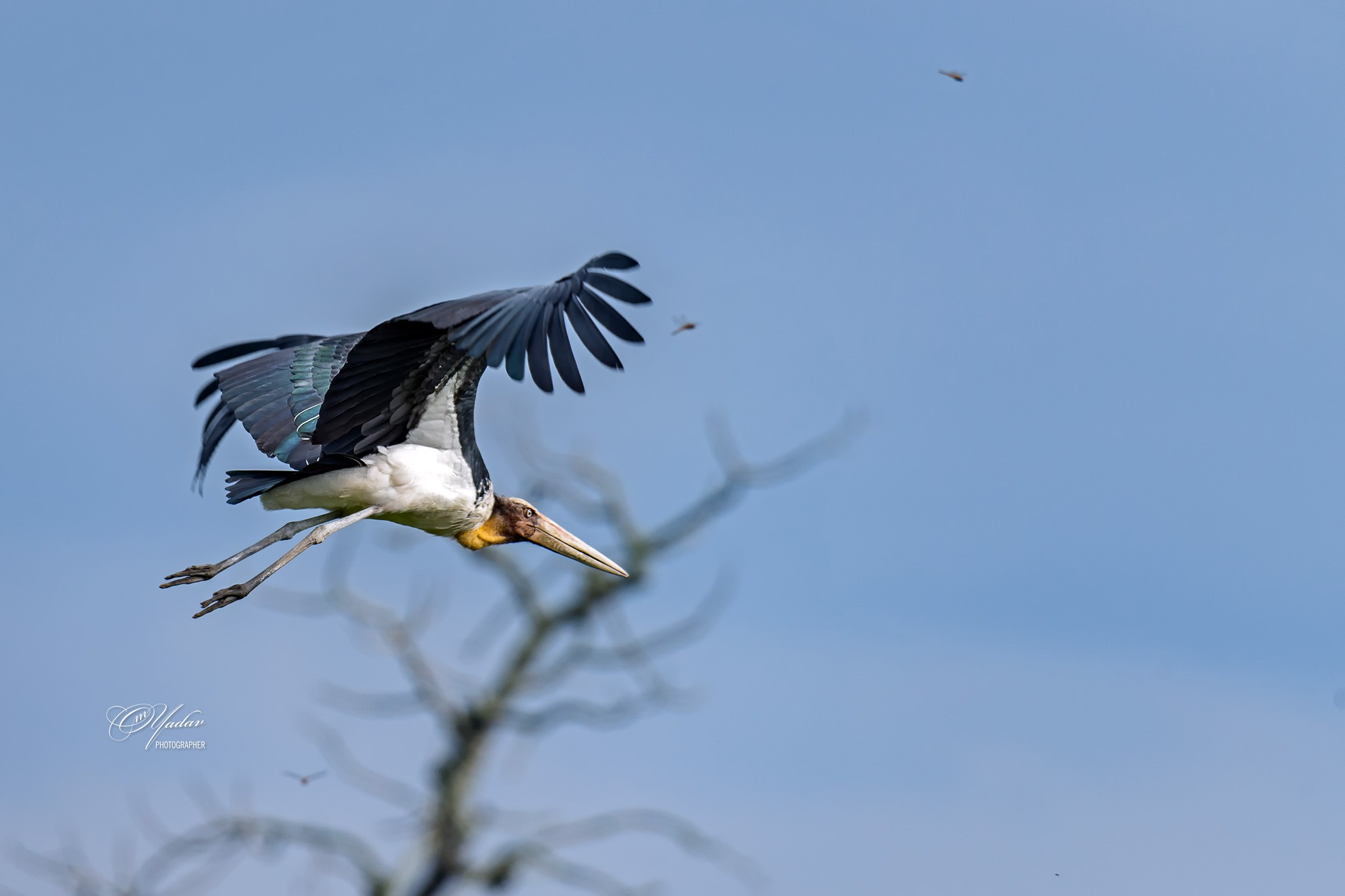 Lesser Adjutant Stork in flight by Om Yadav