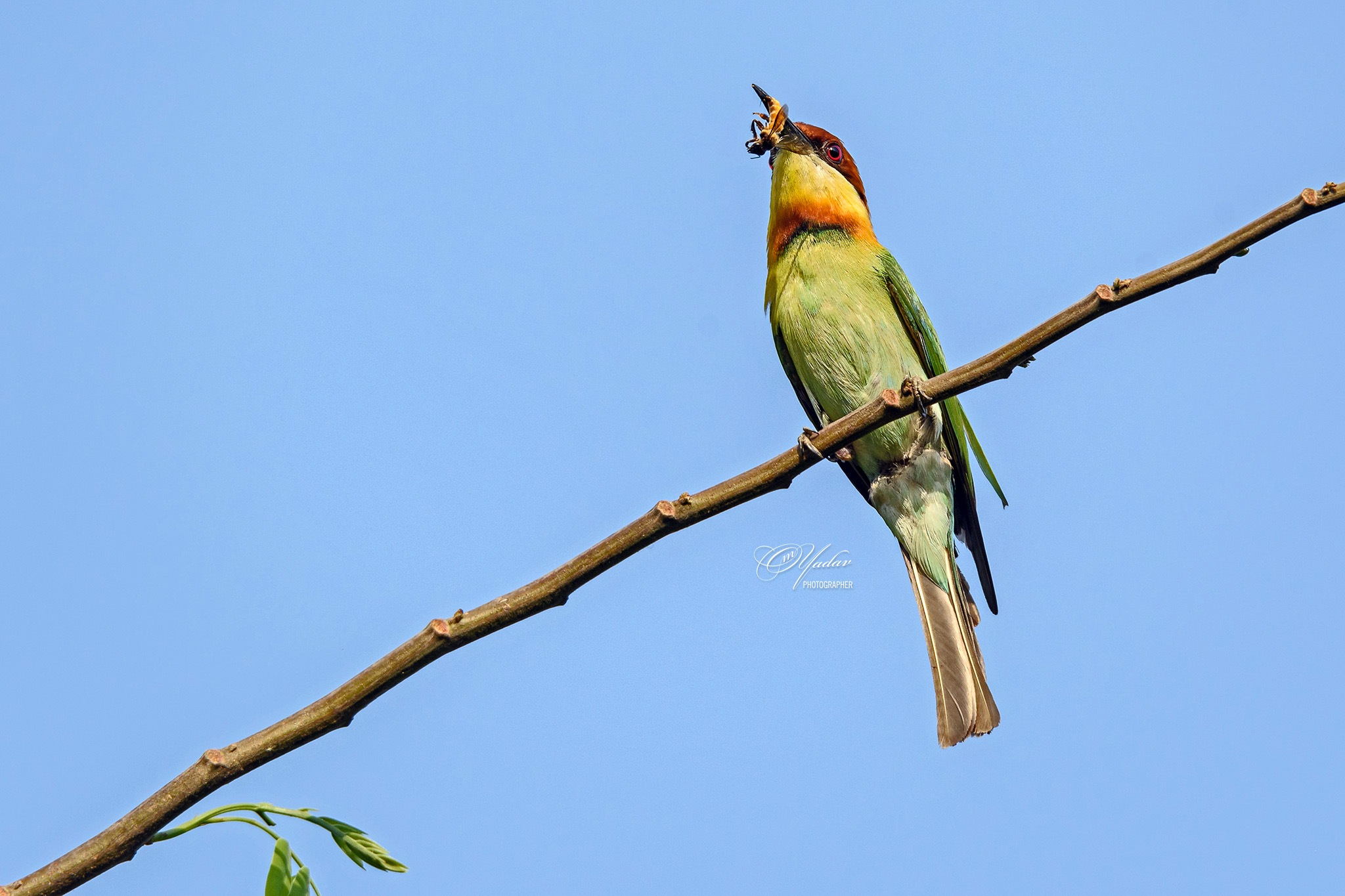 Chestnut-headed Bee-eater with catch by Om Yadav
