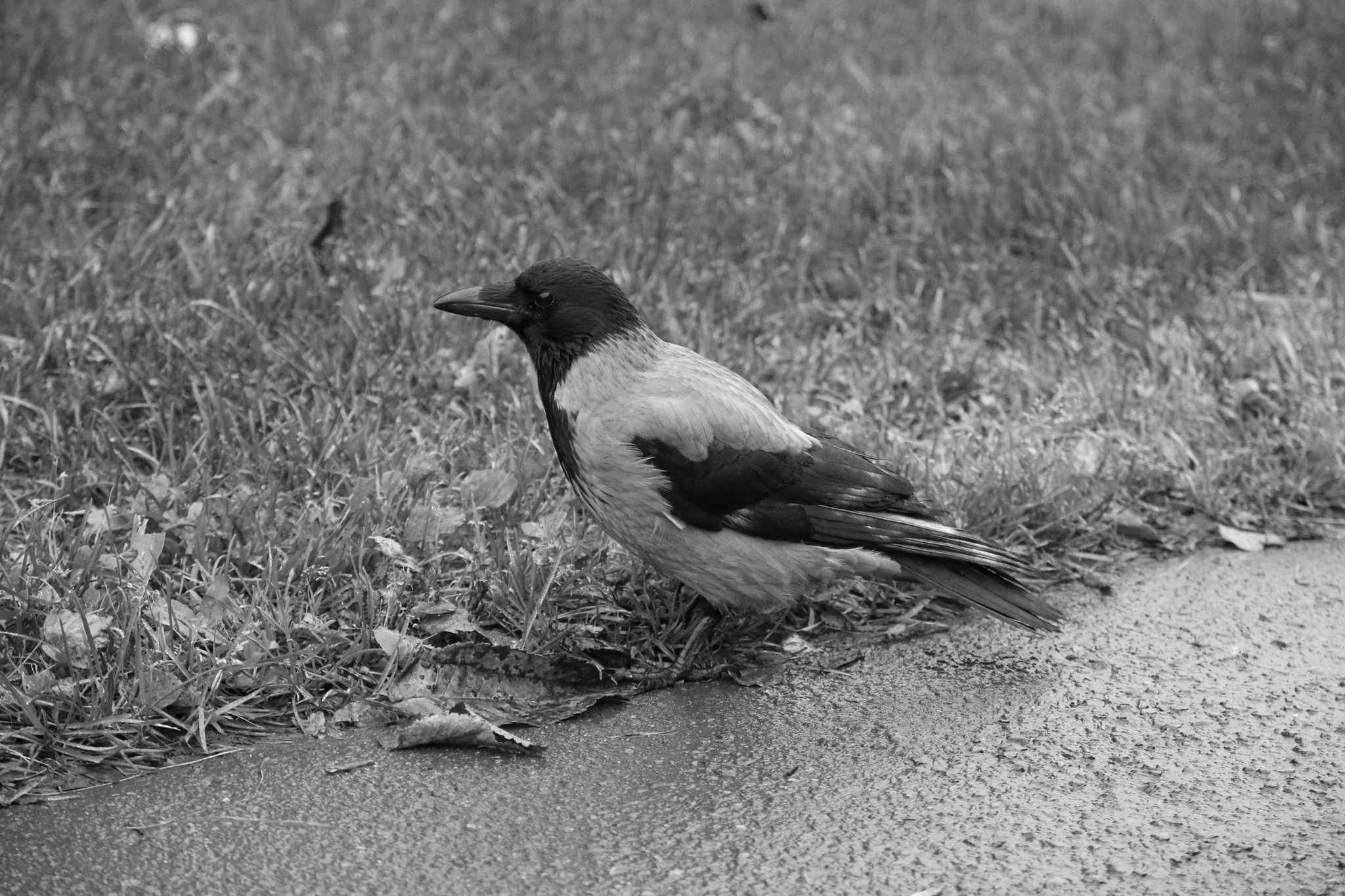 Cool Crow by Rick Skage