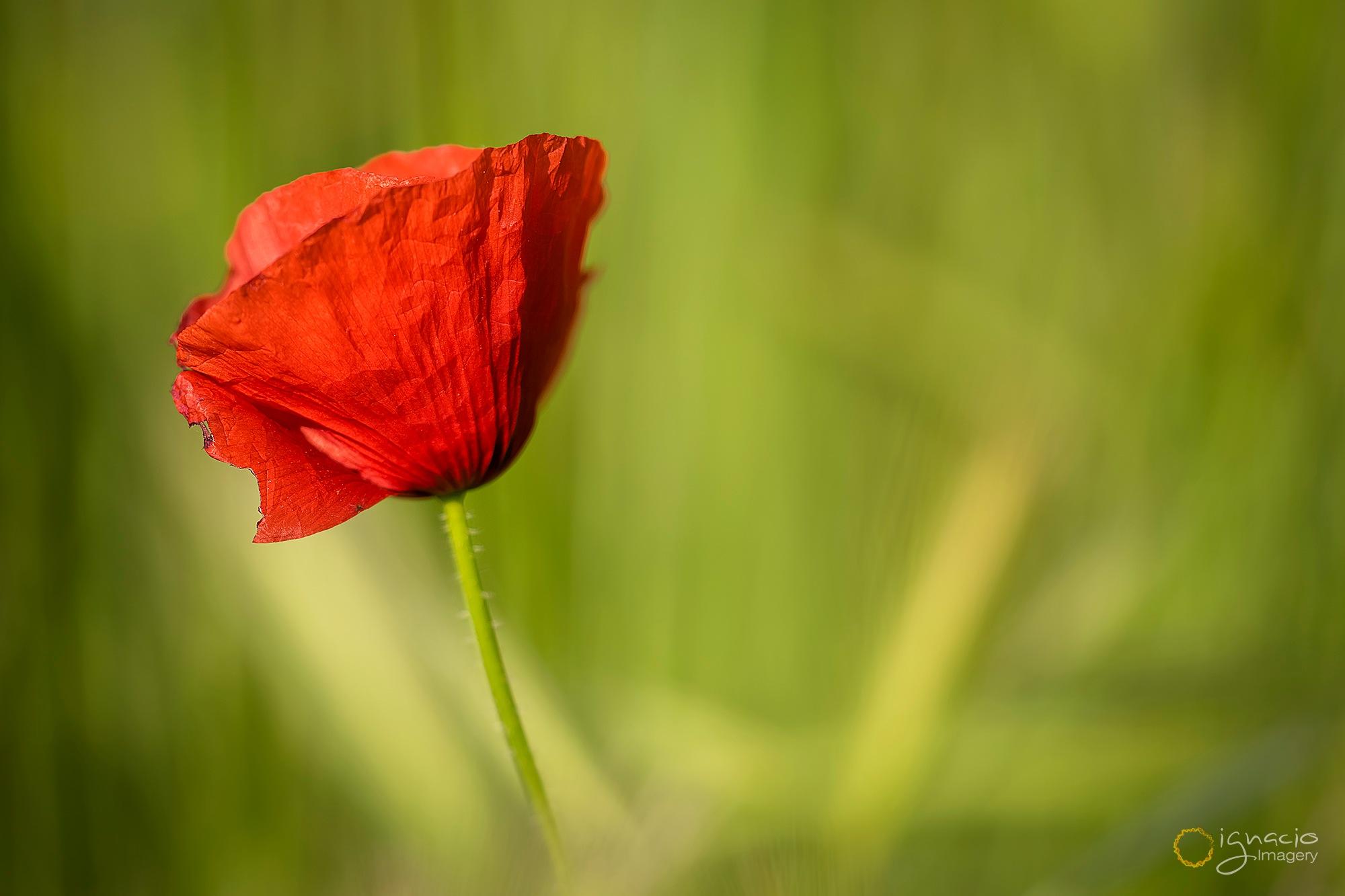 The poppy by Ignacio Leal Orozco