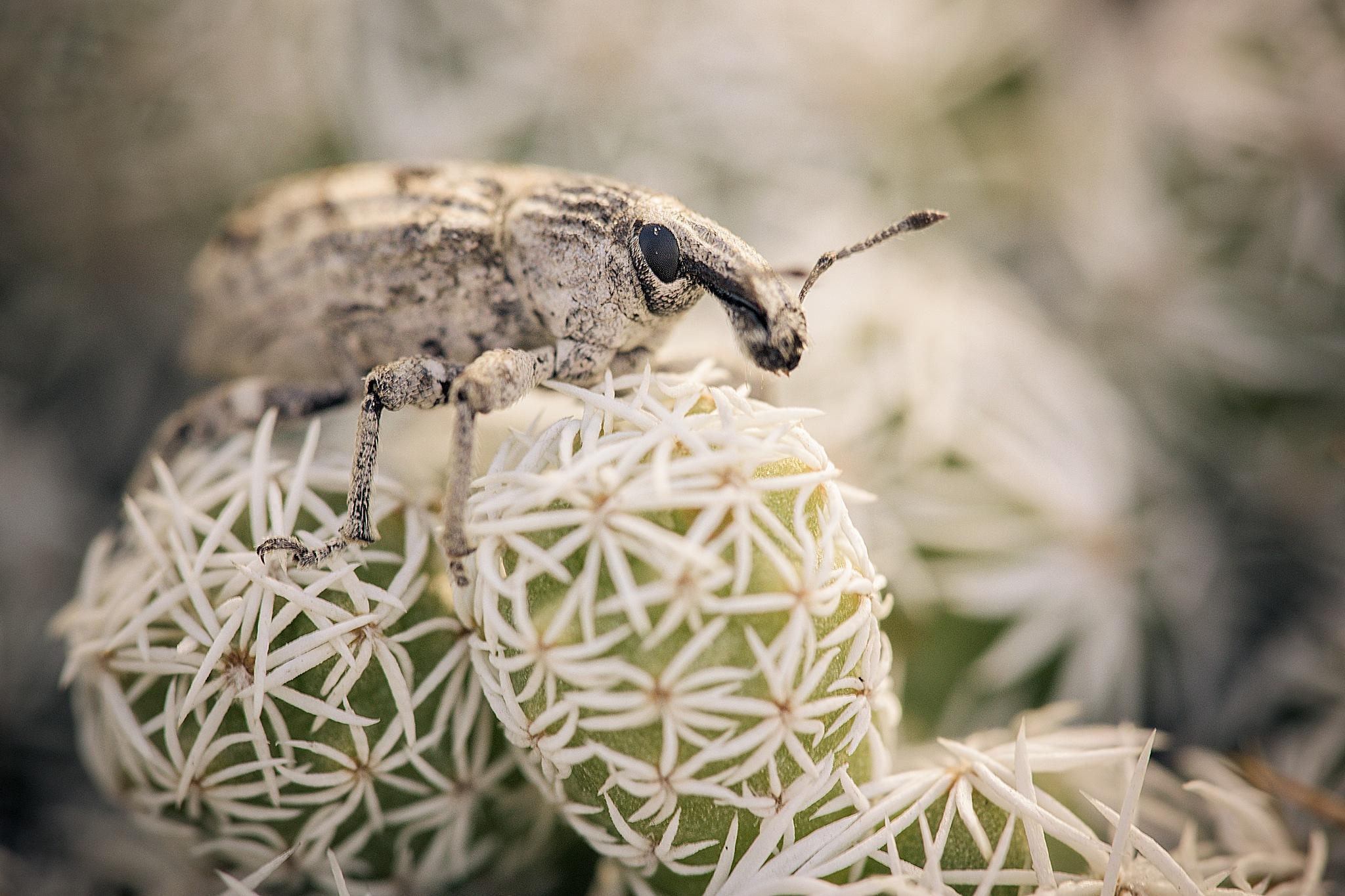 Weevil by Ignacio Leal Orozco