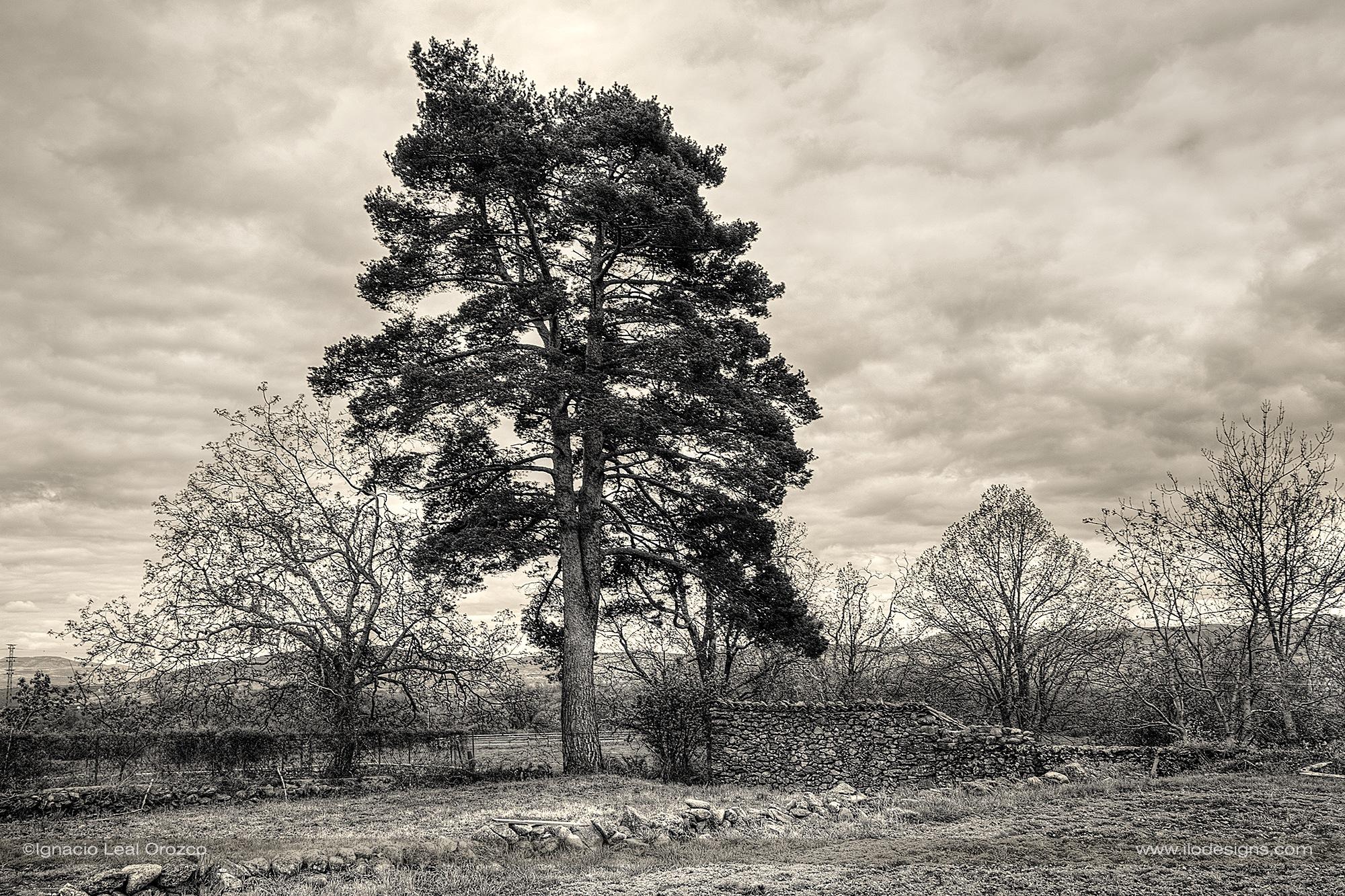 The old pine by Ignacio Leal Orozco