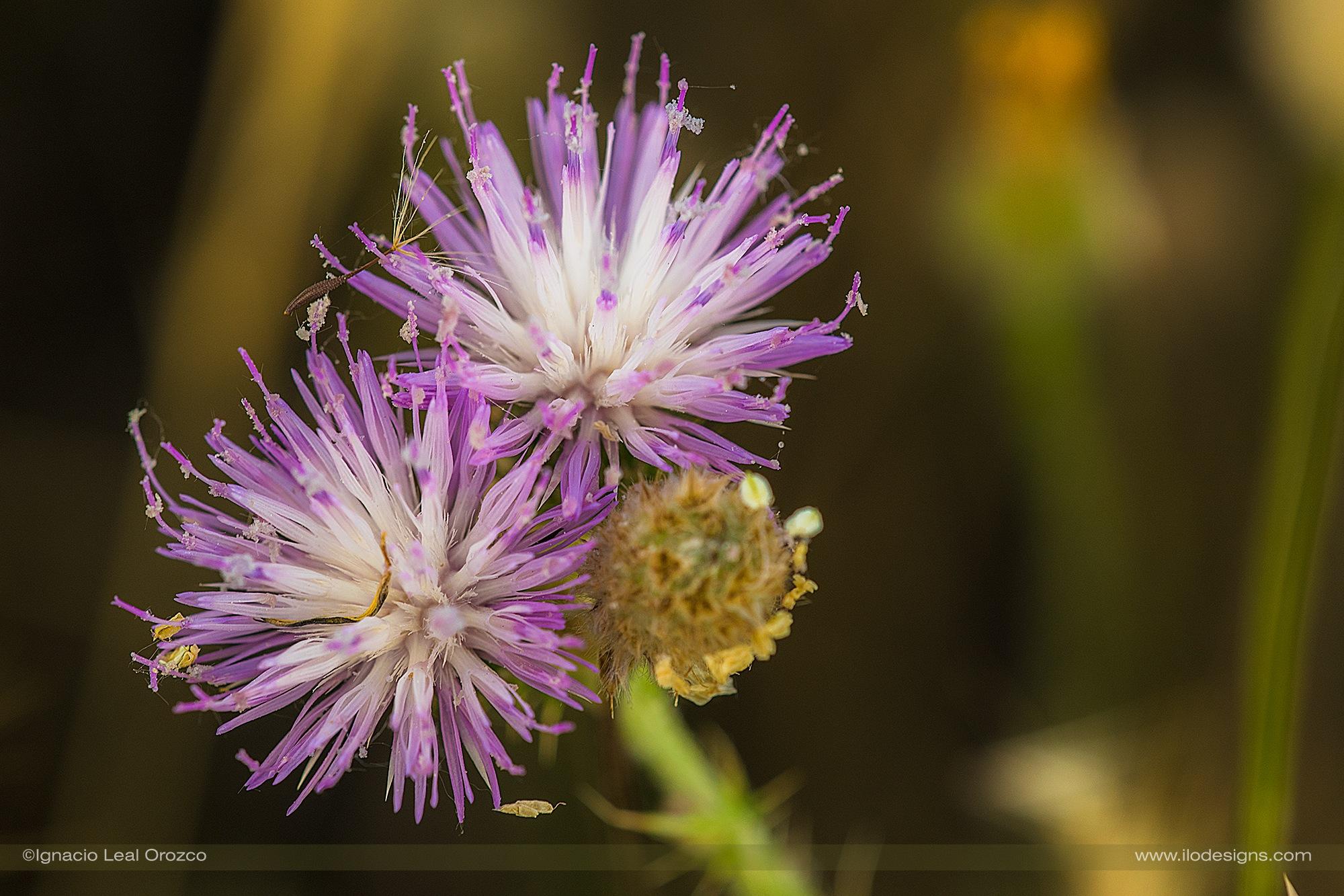 Purple and white by Ignacio Leal Orozco