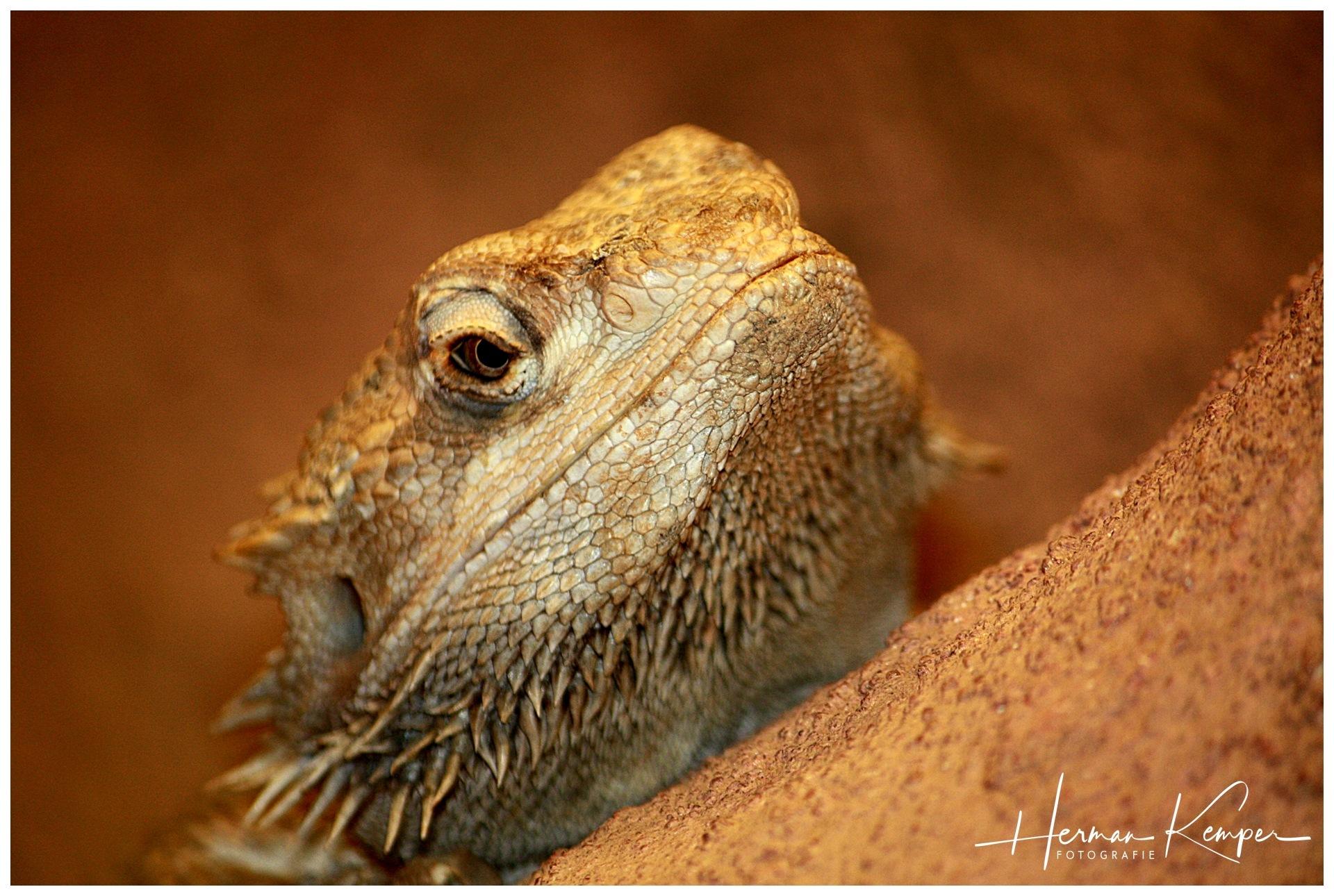 Leguaan, reptile by Shoot-by-Herman
