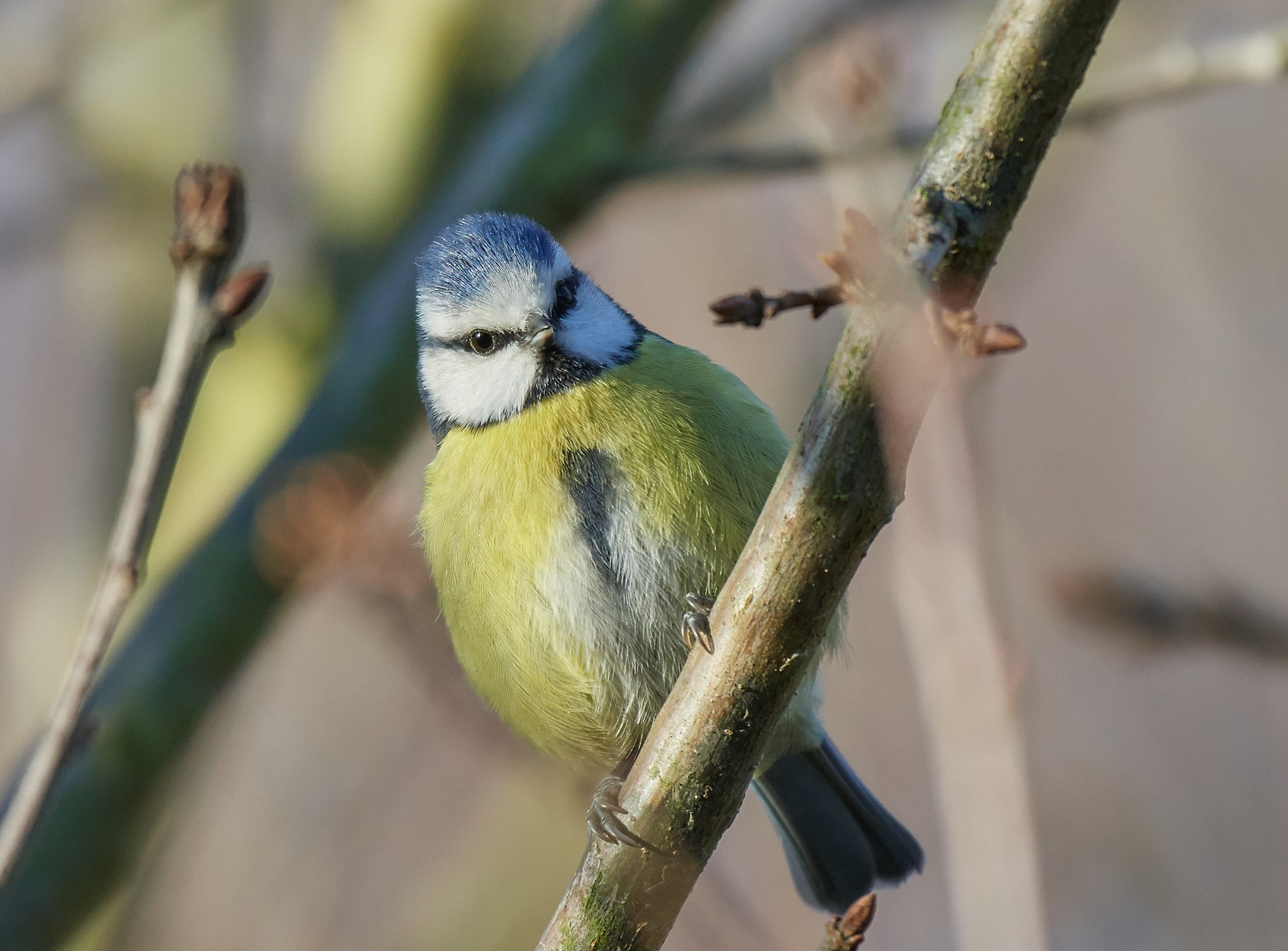 Eurasian blue tit by James Butters
