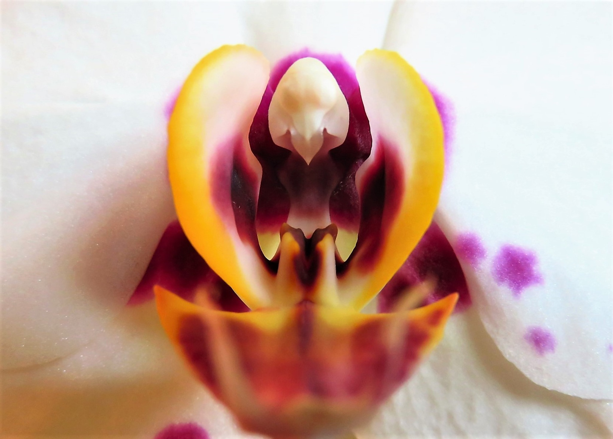 Macro orchid by Isabel Mi