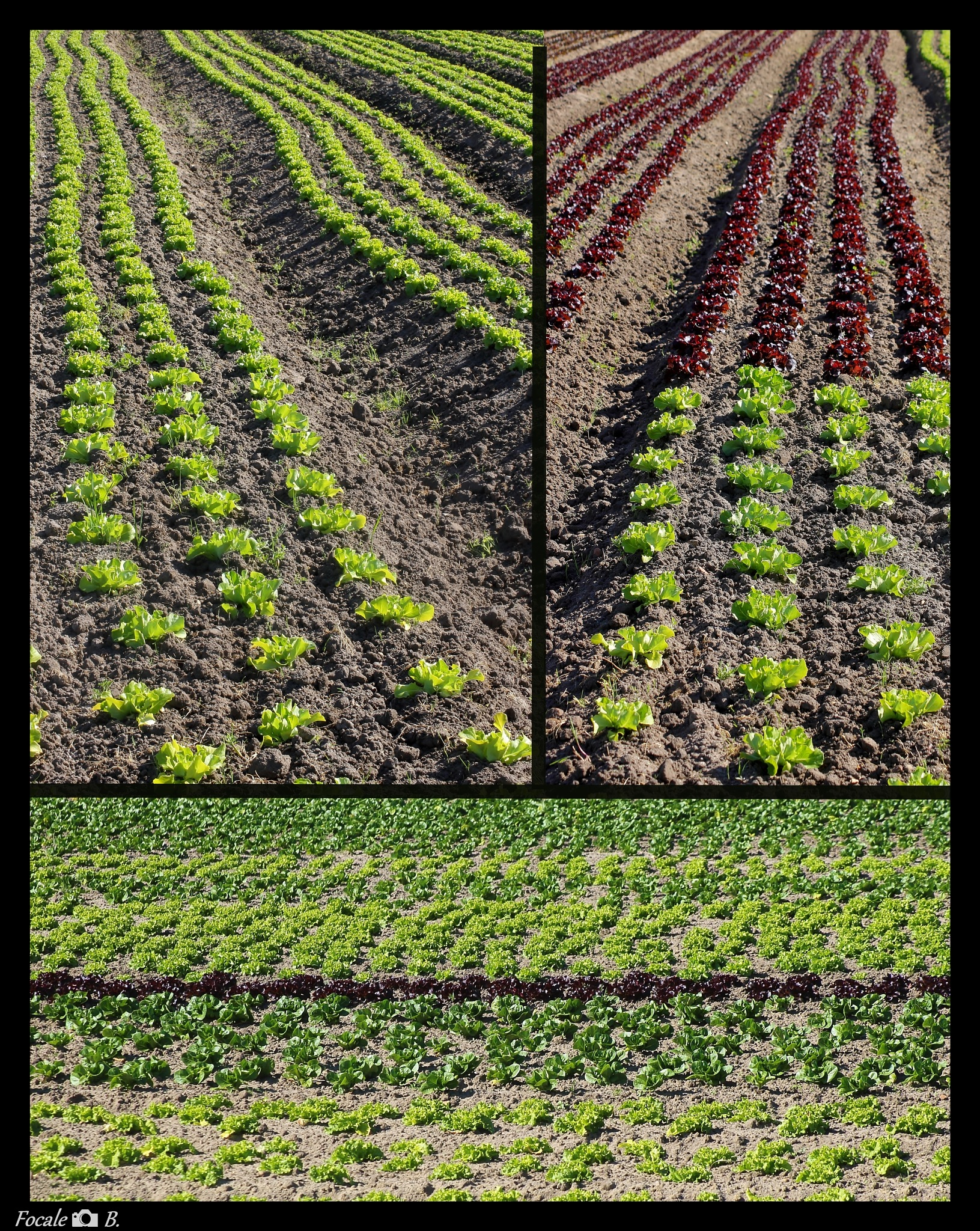 Vegetable lines by Focale B.