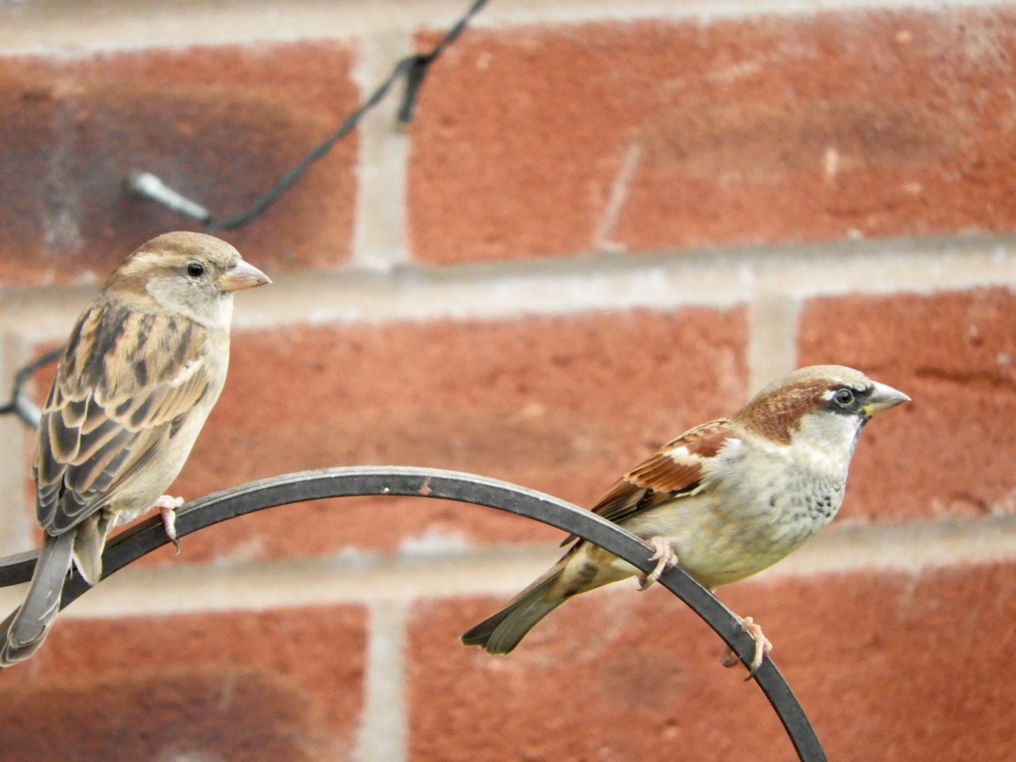Sparrows by Rosie