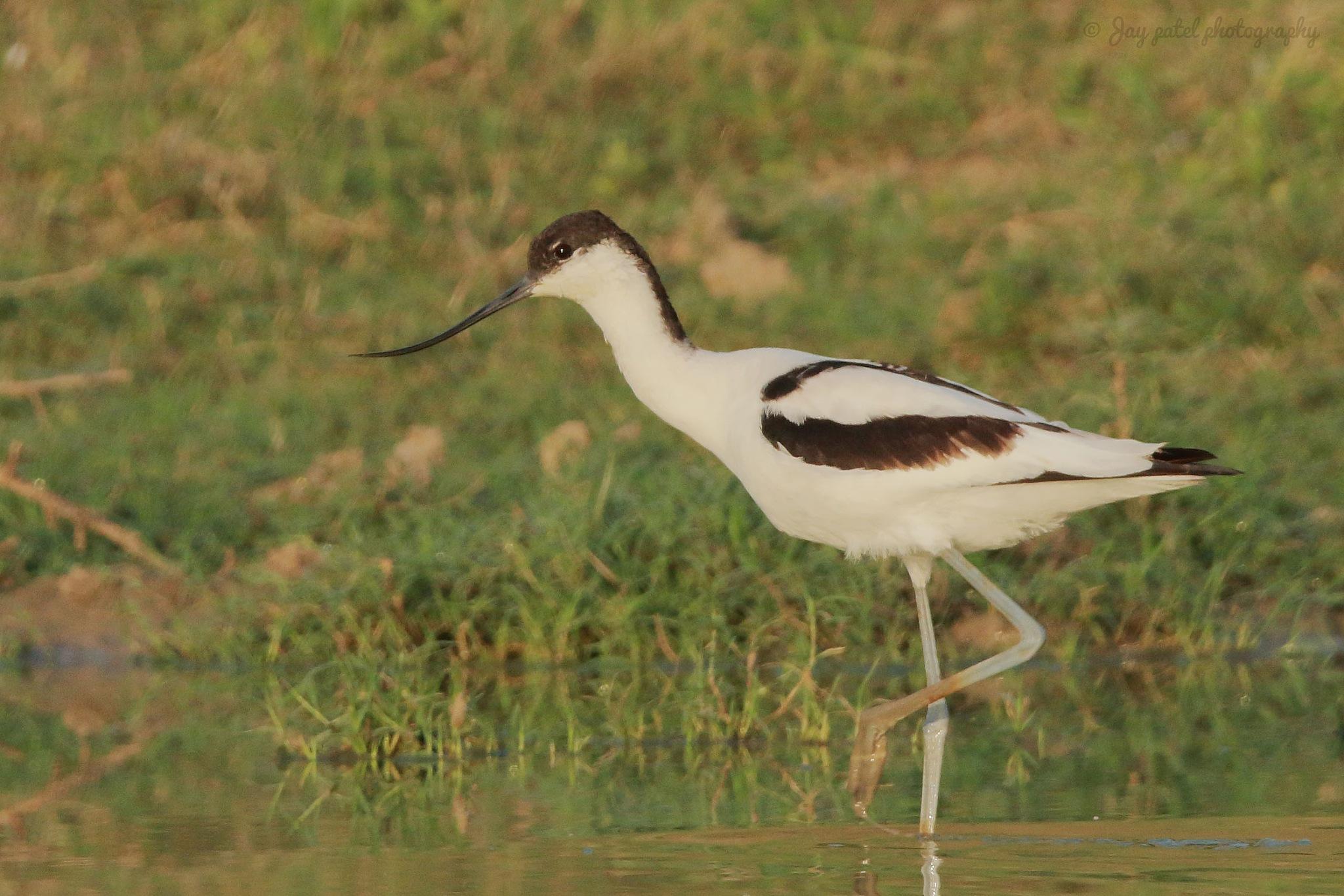 Pied avocet (Recurvirostra avosetta) Gujarati Name : ઉલટી ચાંચ. by Jay Patel