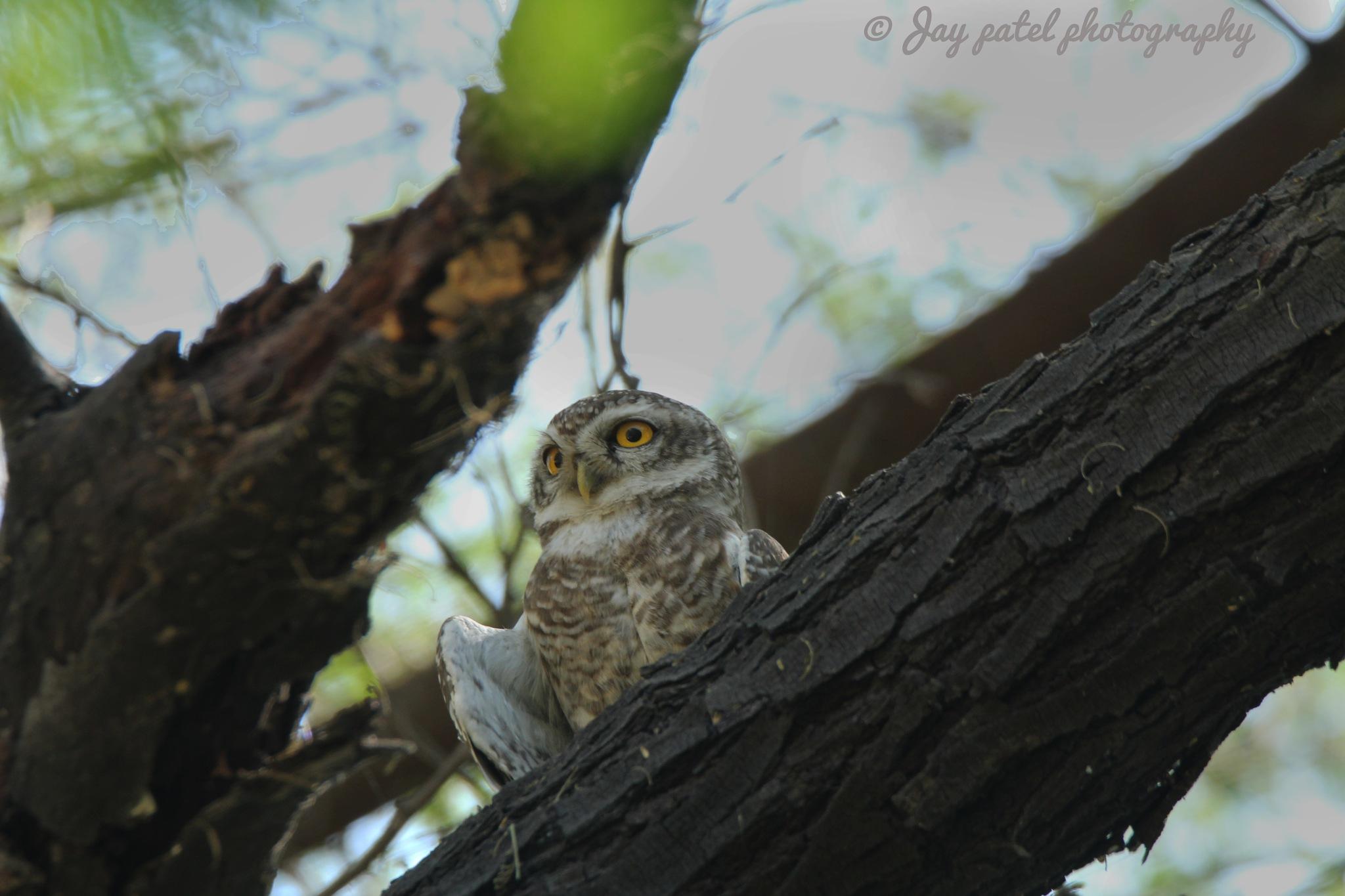 Spotted owlet (Athene brama)       Gujarati Name : ચીબરી. by Jay Patel