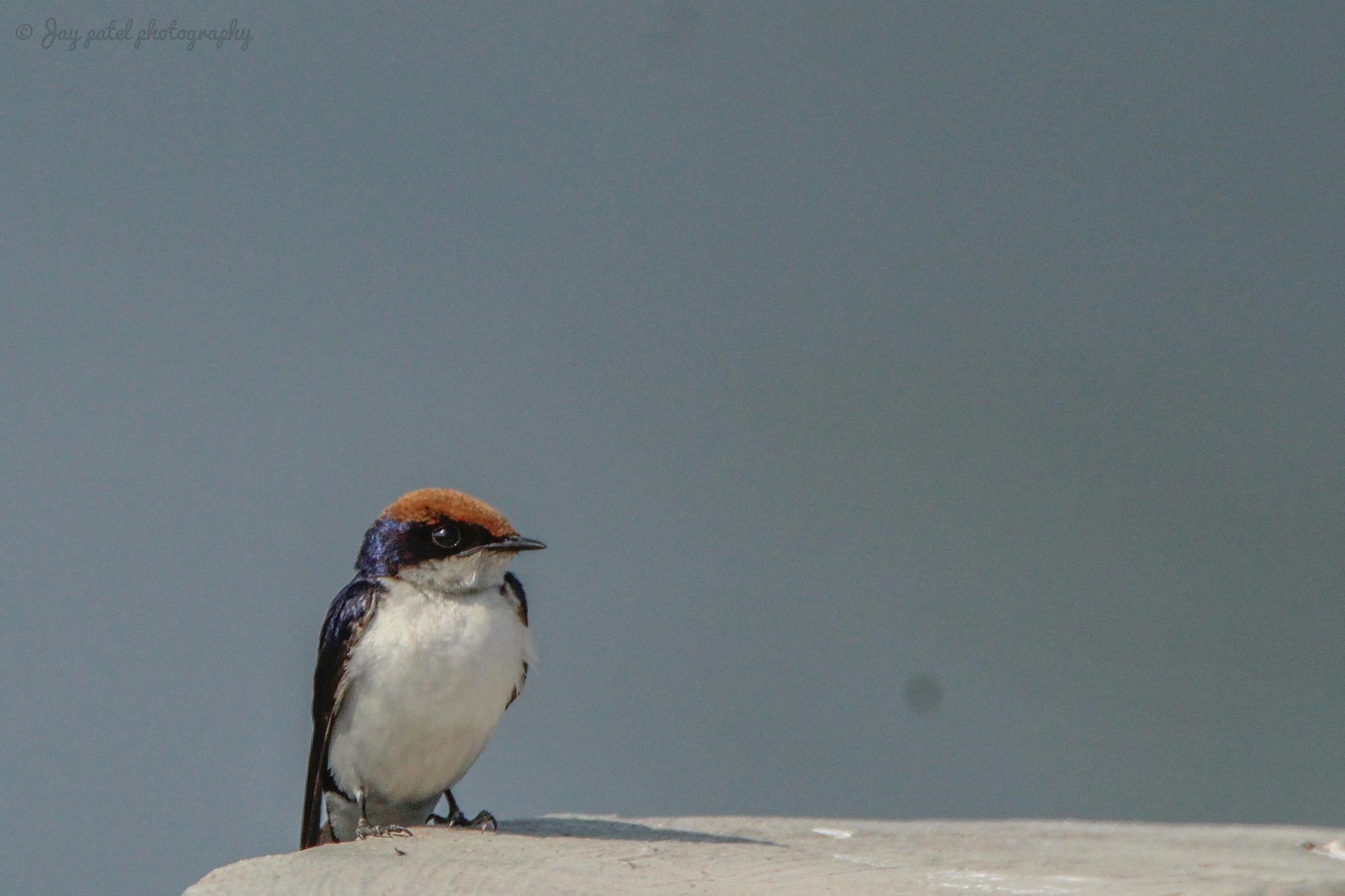 Wire-tailed swallow (Hirundo smithii) Gujarati Name : તારો઼ડિયું, તારપુચ્છ. by Jay Patel