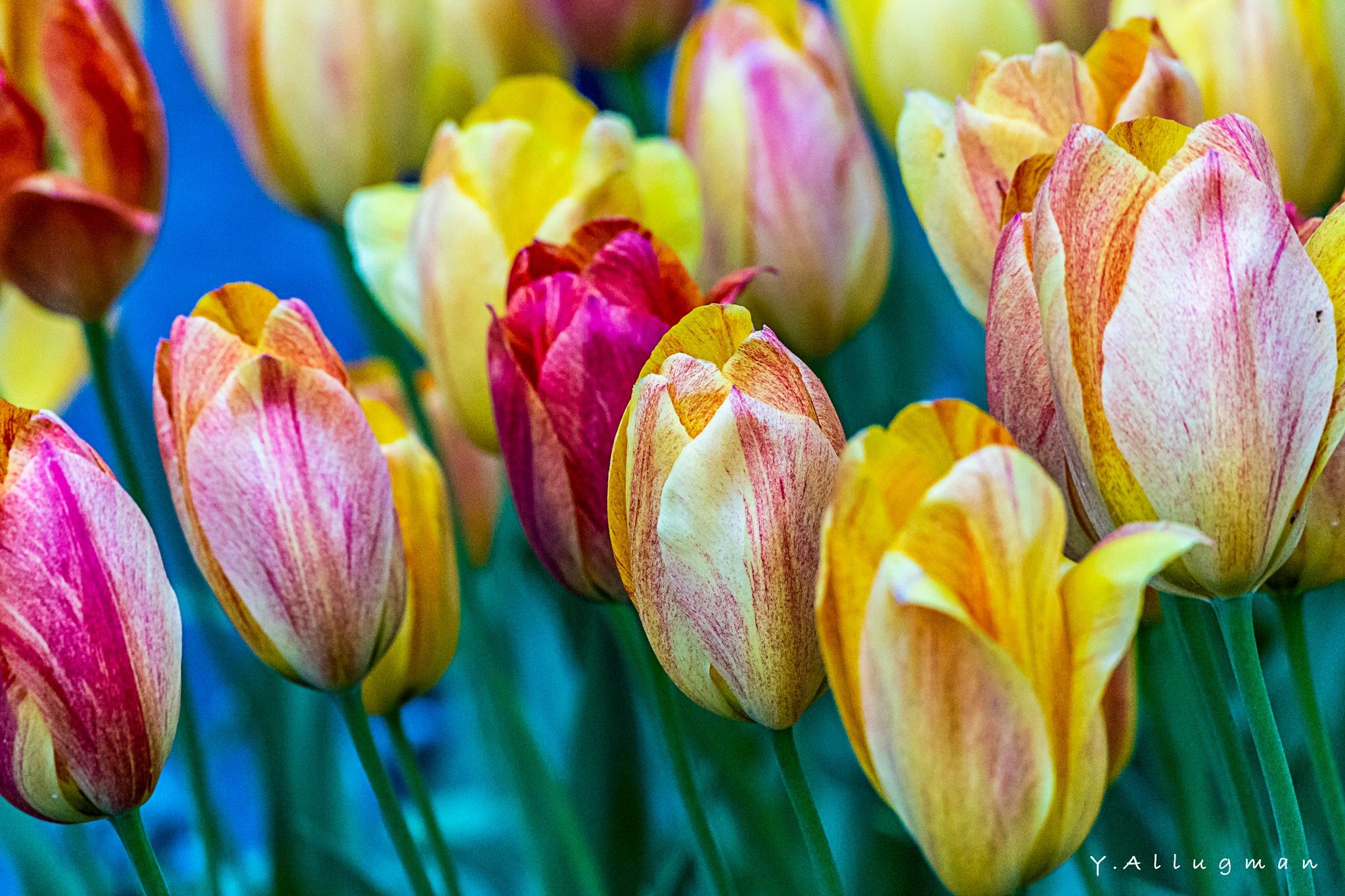 The Rose Garden - Amsterdam 1 by Y.Allugman
